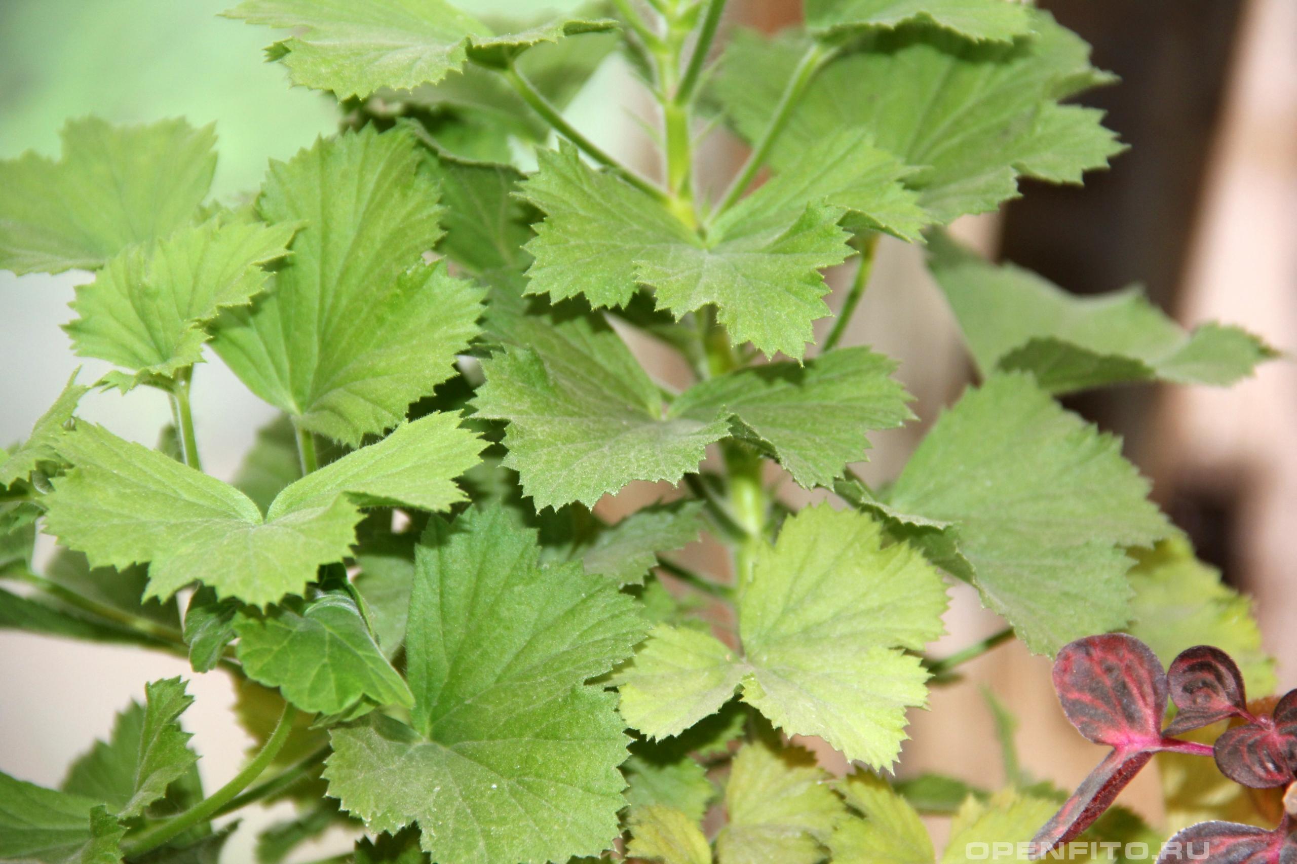 Пеларгония крупноцветковая <p>домашнее растение</p>