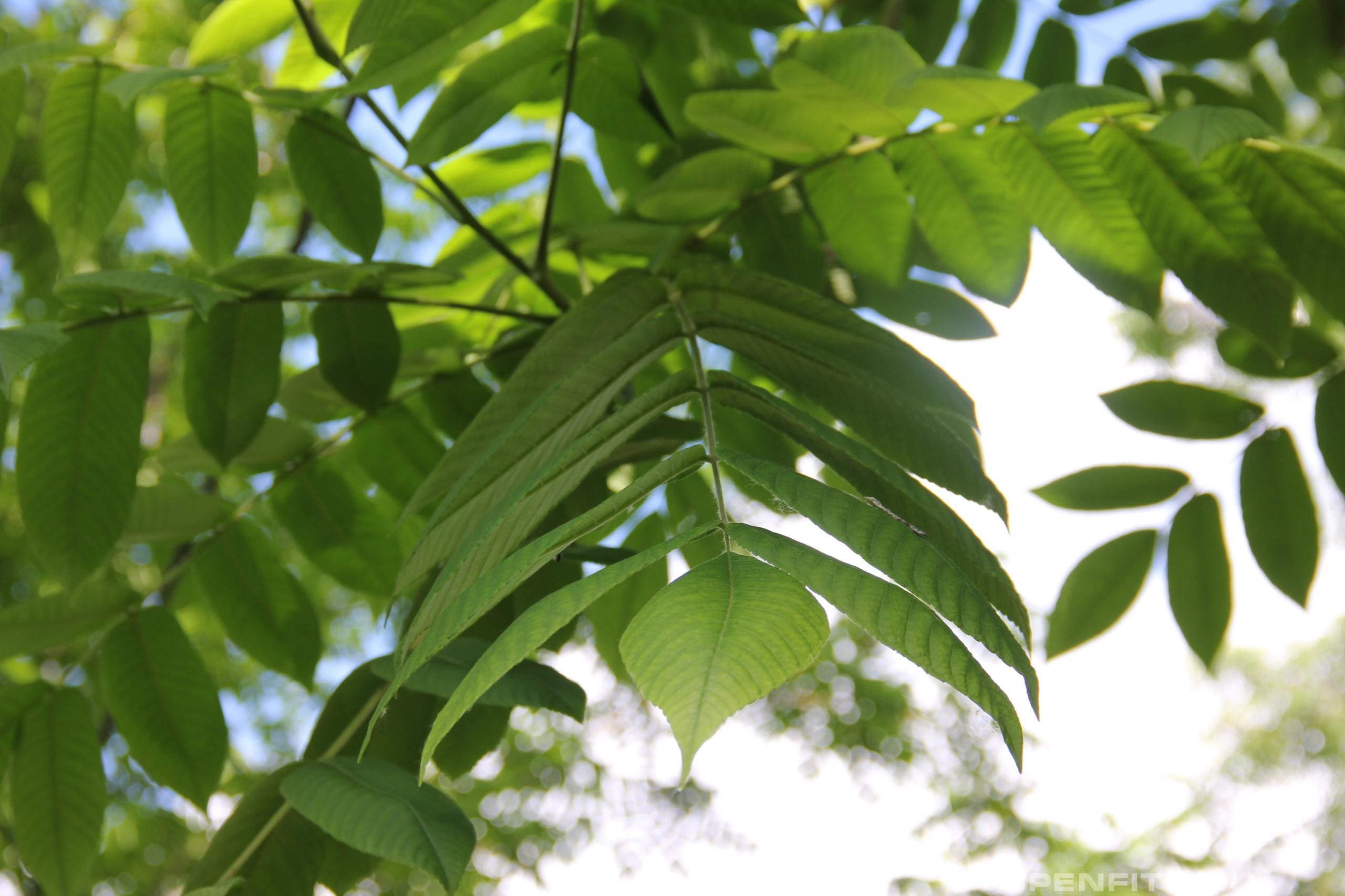 Ясень высокий лист