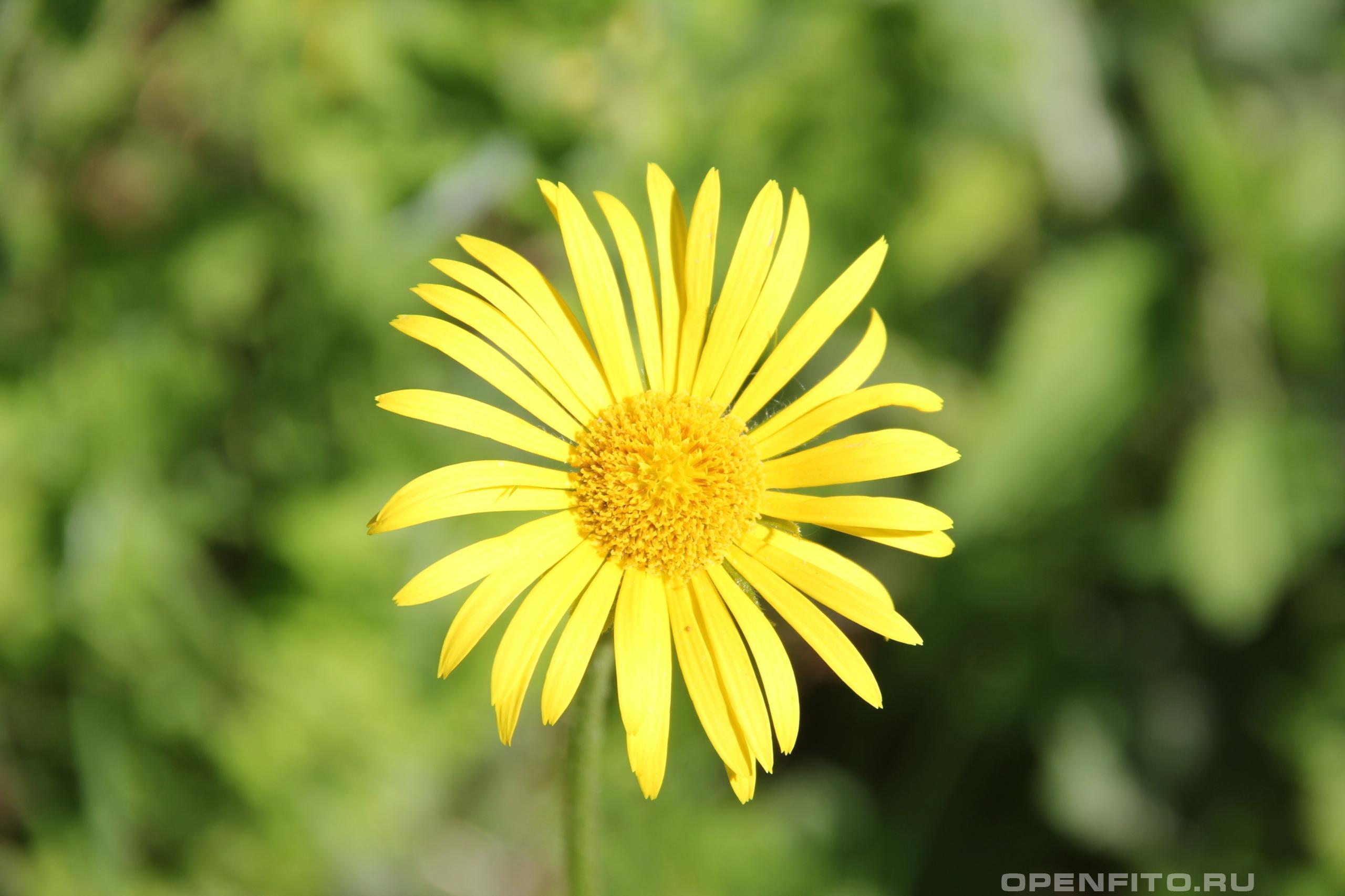 Дороникум цветки у всех видов дороникума или козульника внешне очень похожи
