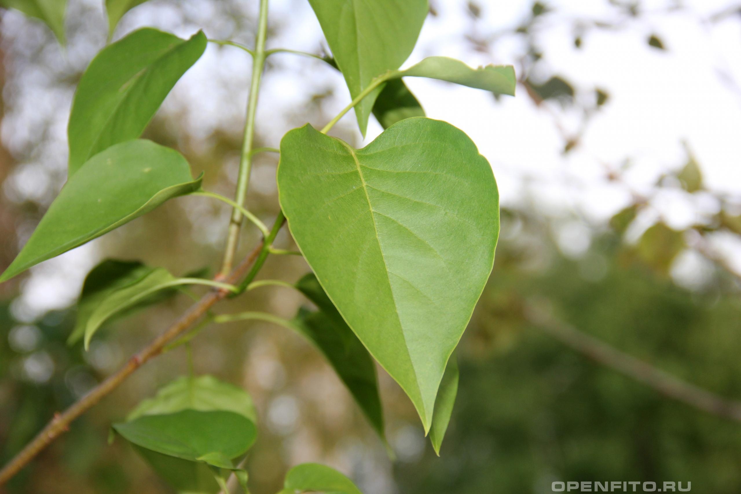 Сирень обыкновенная лист