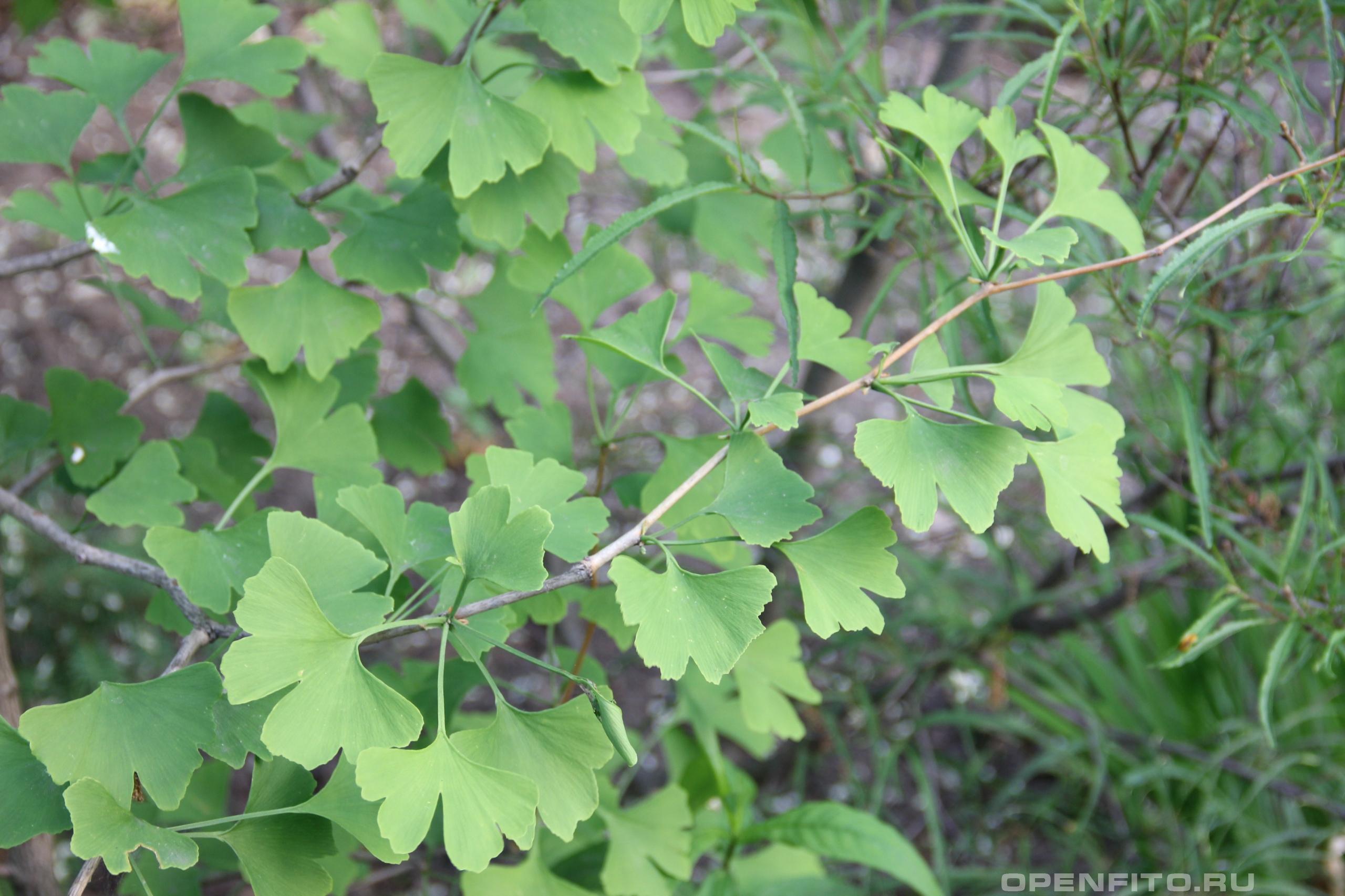 Гинкго двулопастный ветка с листьями