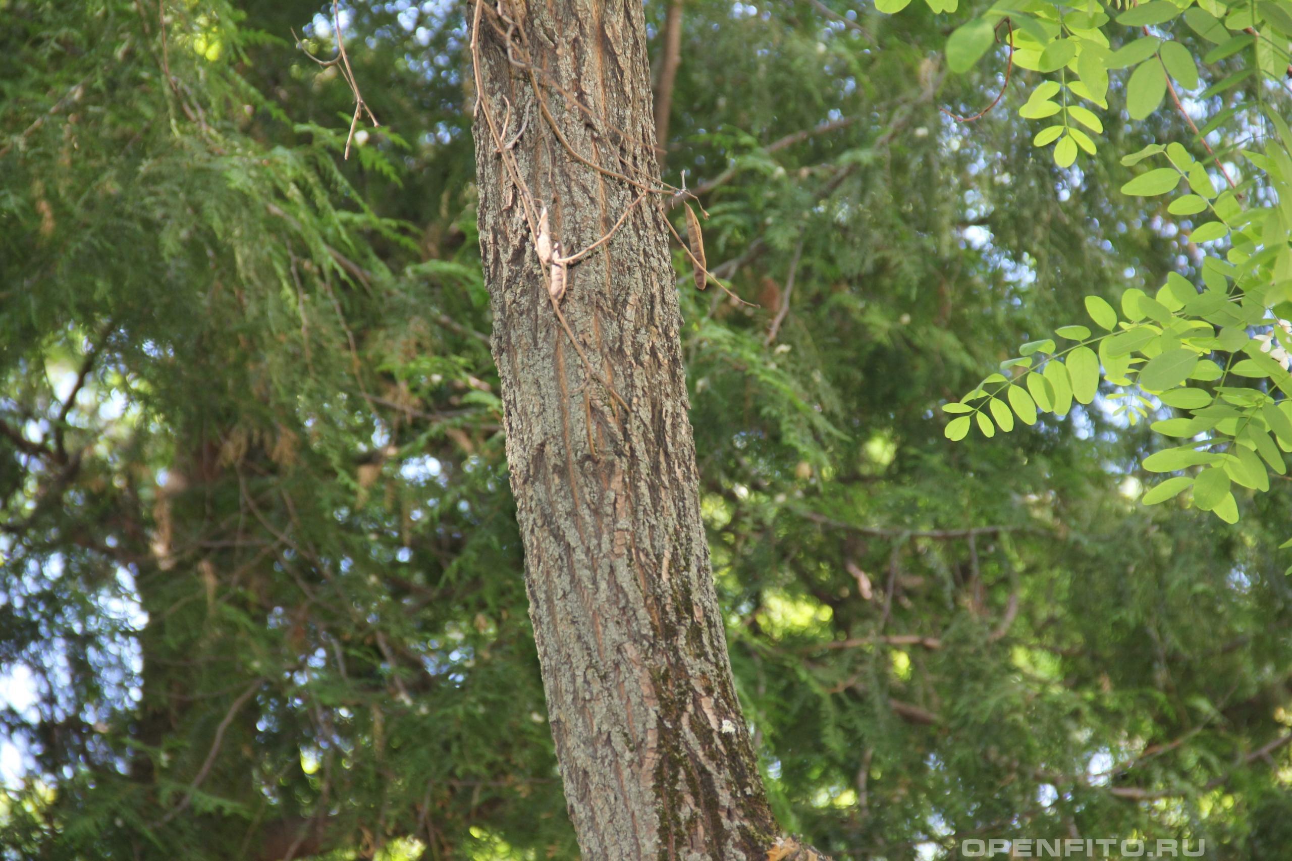 Робиния лжеакация ствол дерева