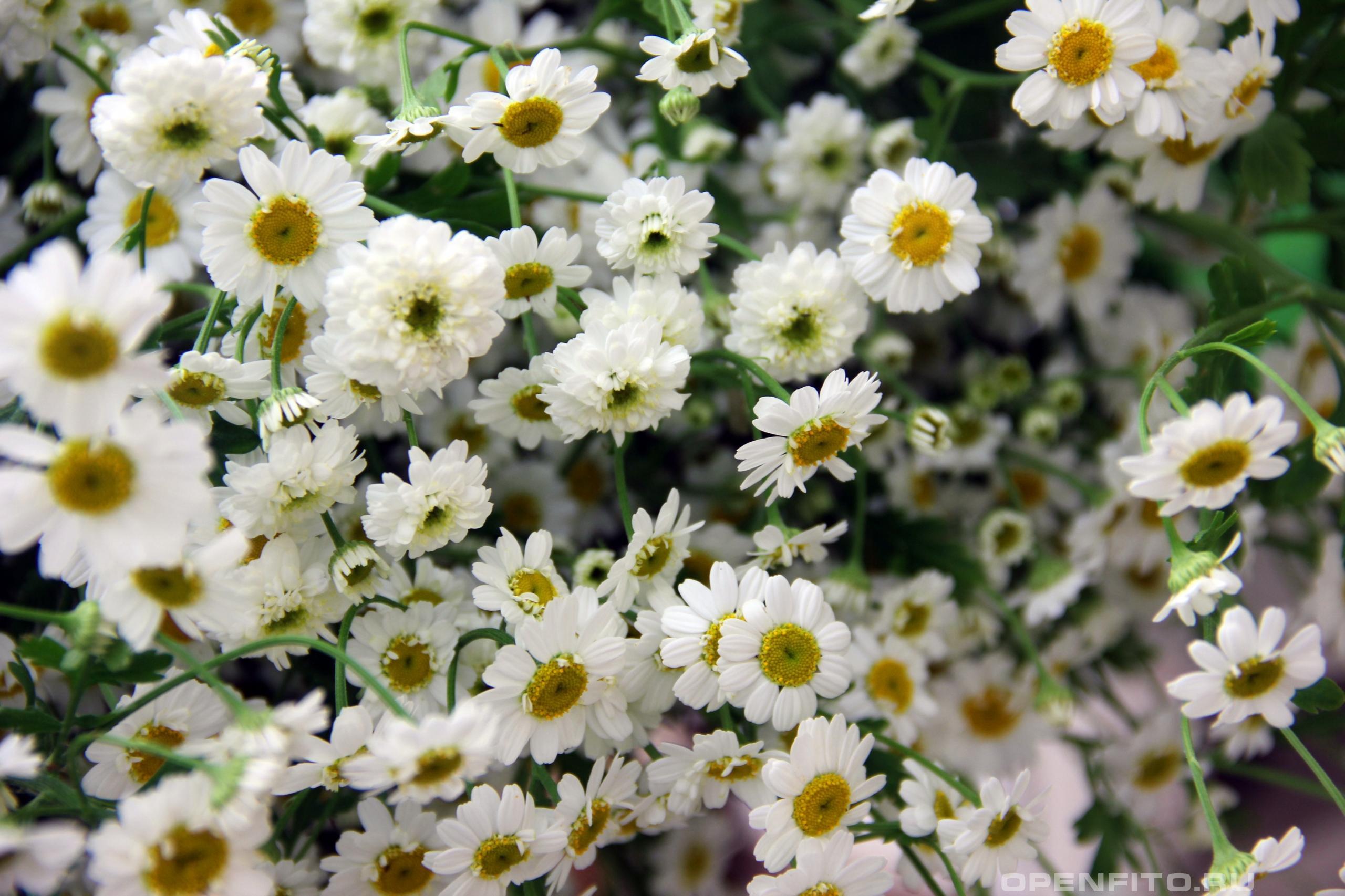 Пиретрум девичелистный разные цветки одного вида