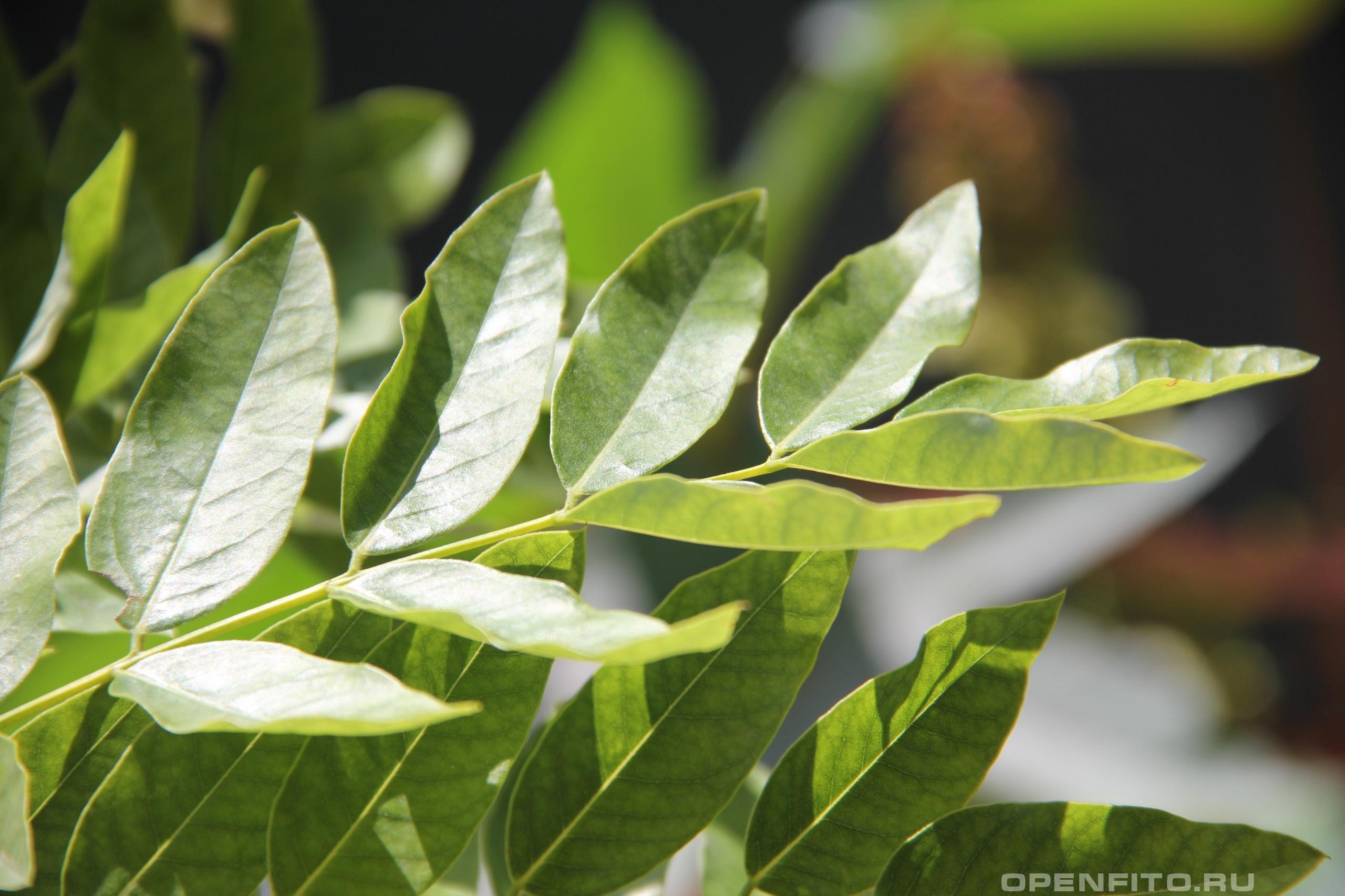 Софора японская лист, другое название Стифнолобиум японский