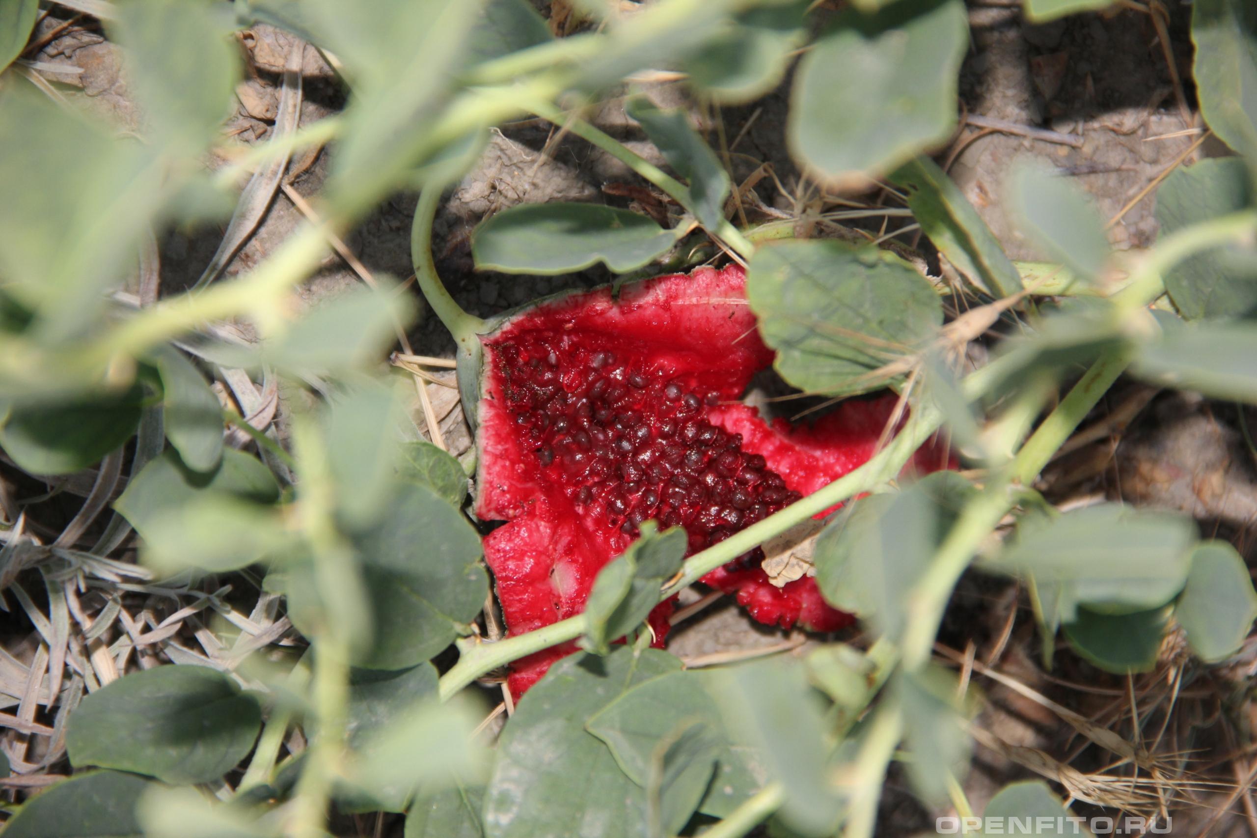 Каперсы травянистые зрелый лопнувший плод растения
