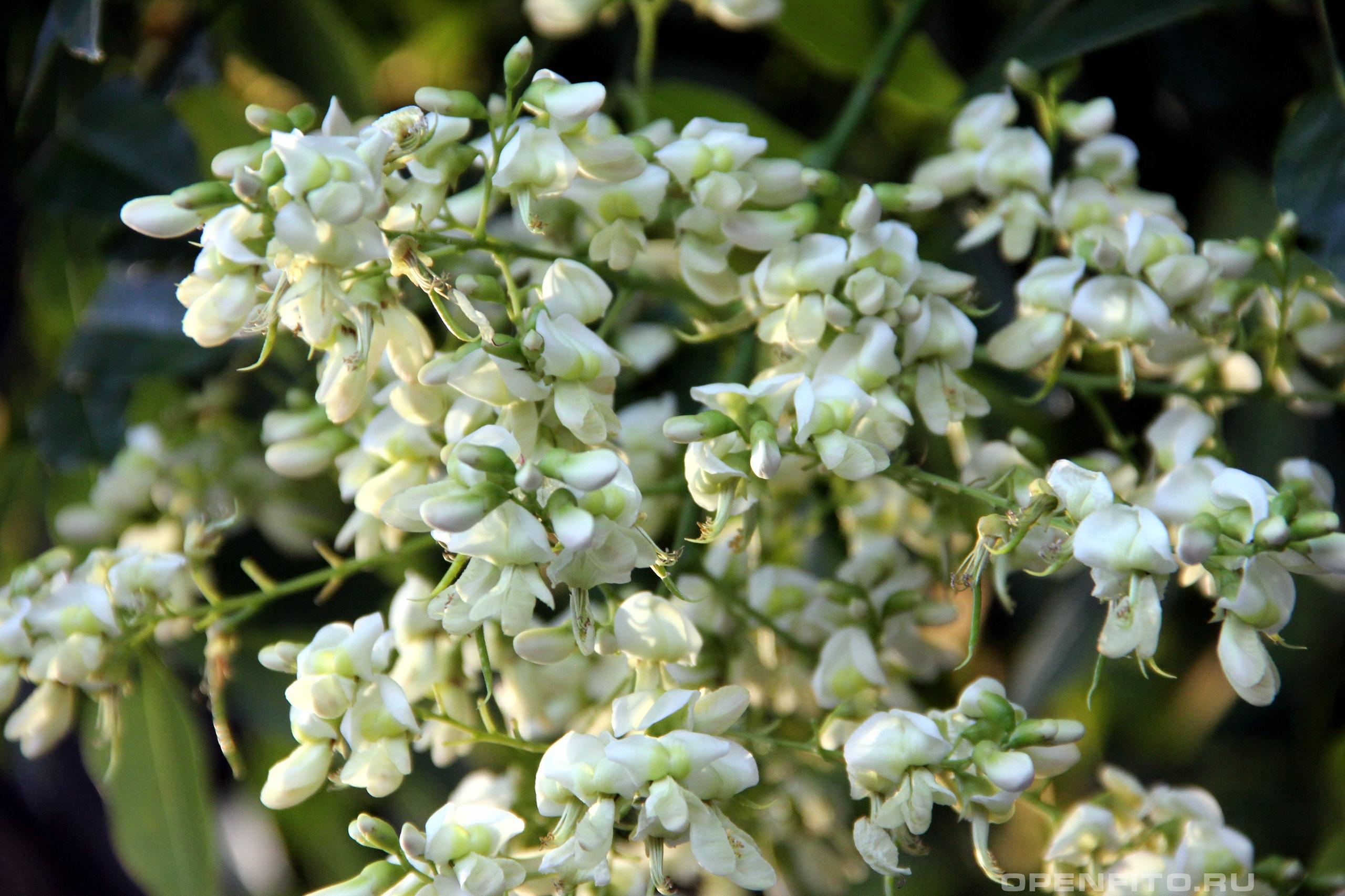 Софора японская лекарственное дерево