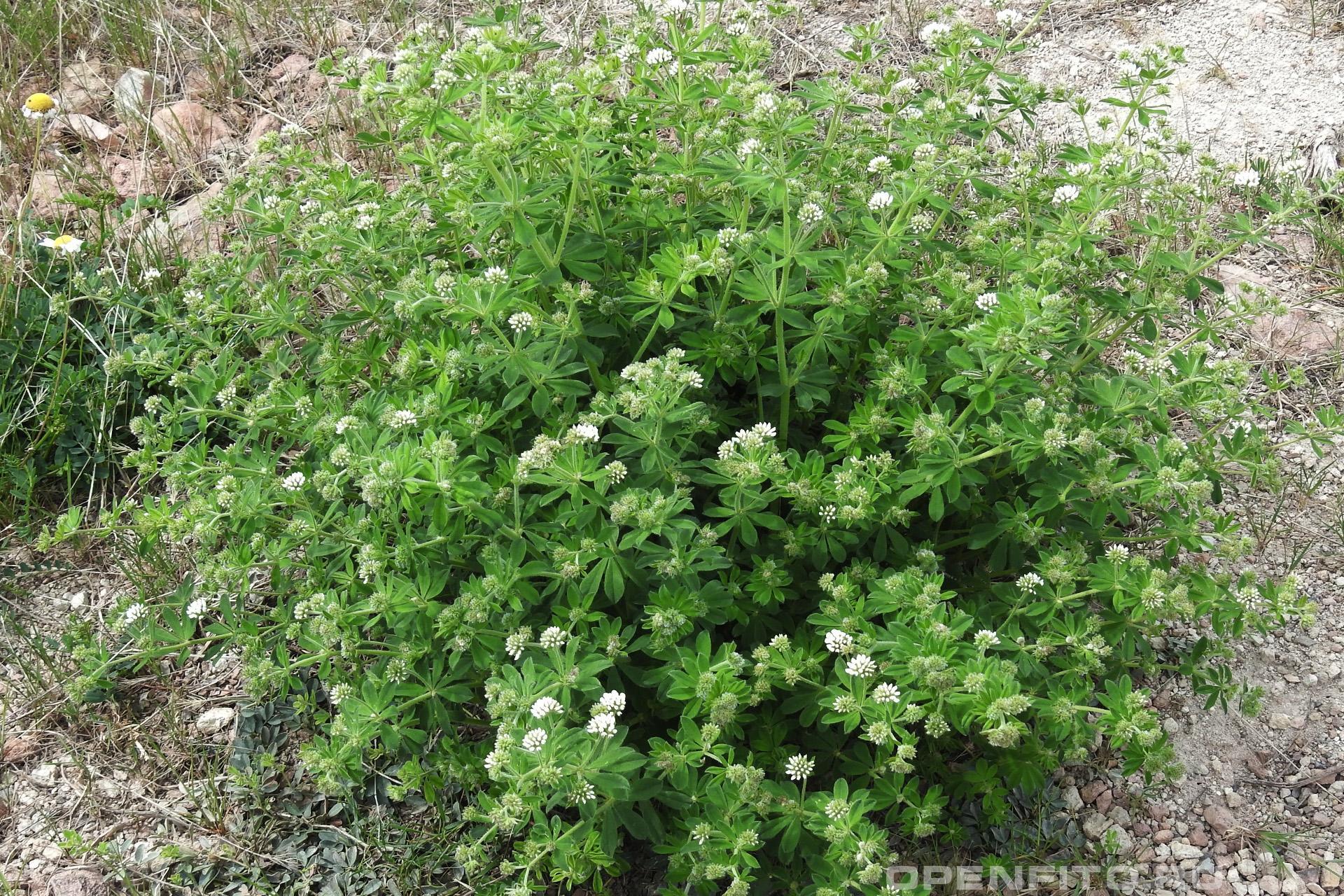 Пятилистник греческий цветущее растение