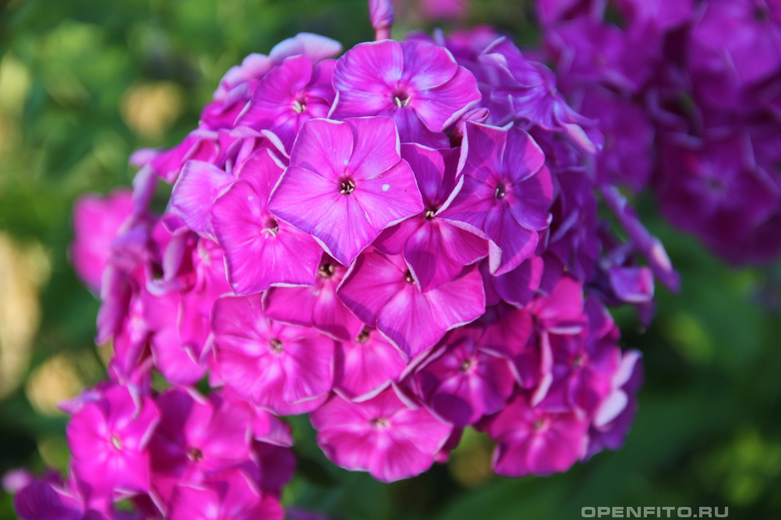 Флокс метельчатый садовый цветок