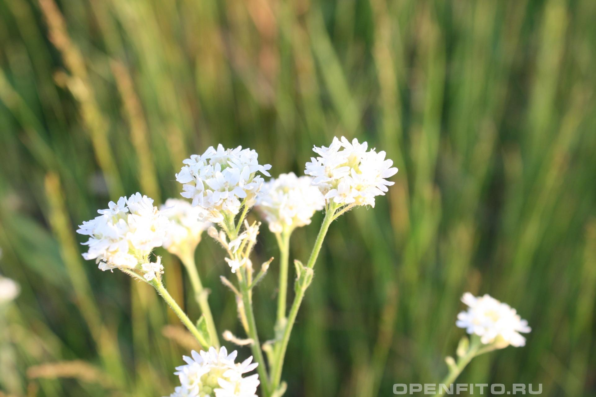 Икотник Двулетняя трава