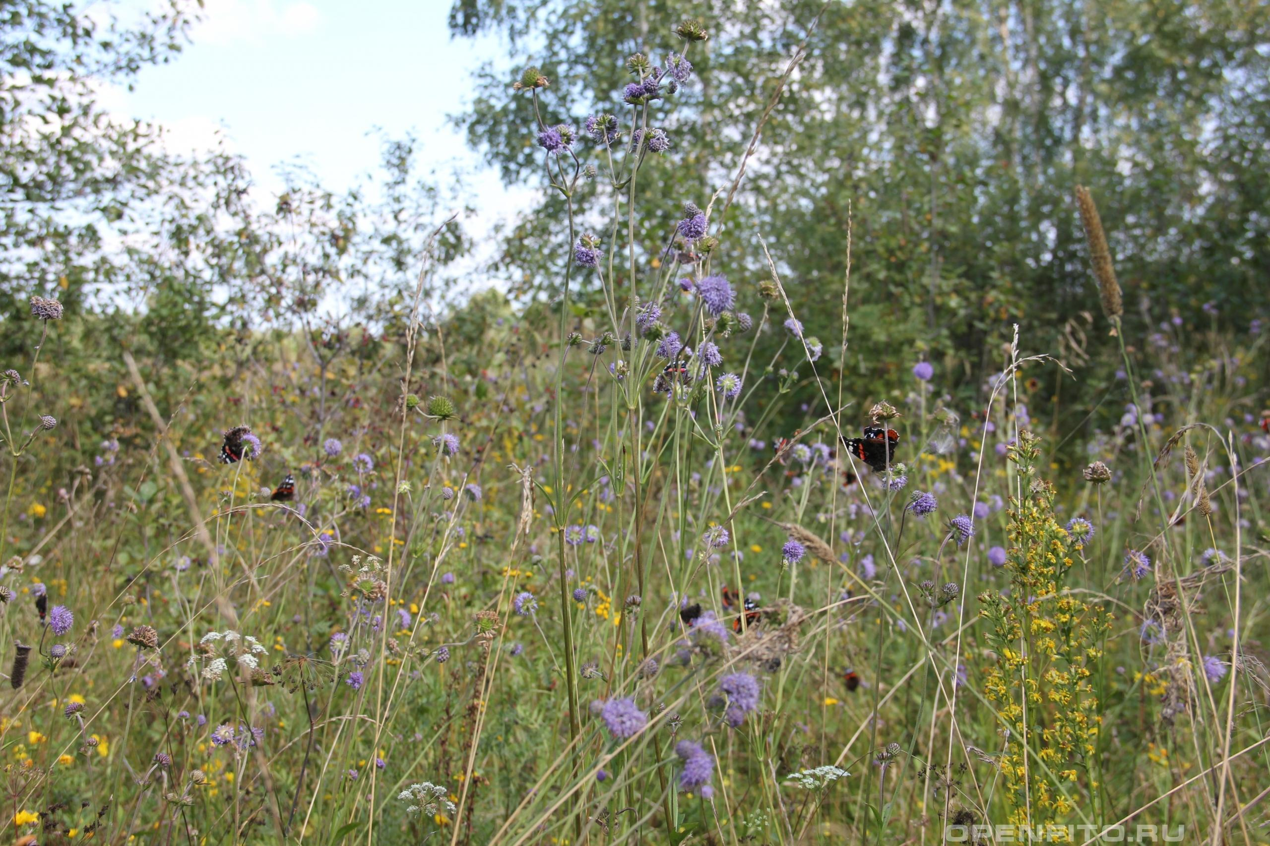Сивец полевой усыпан бабочками Адмиралами