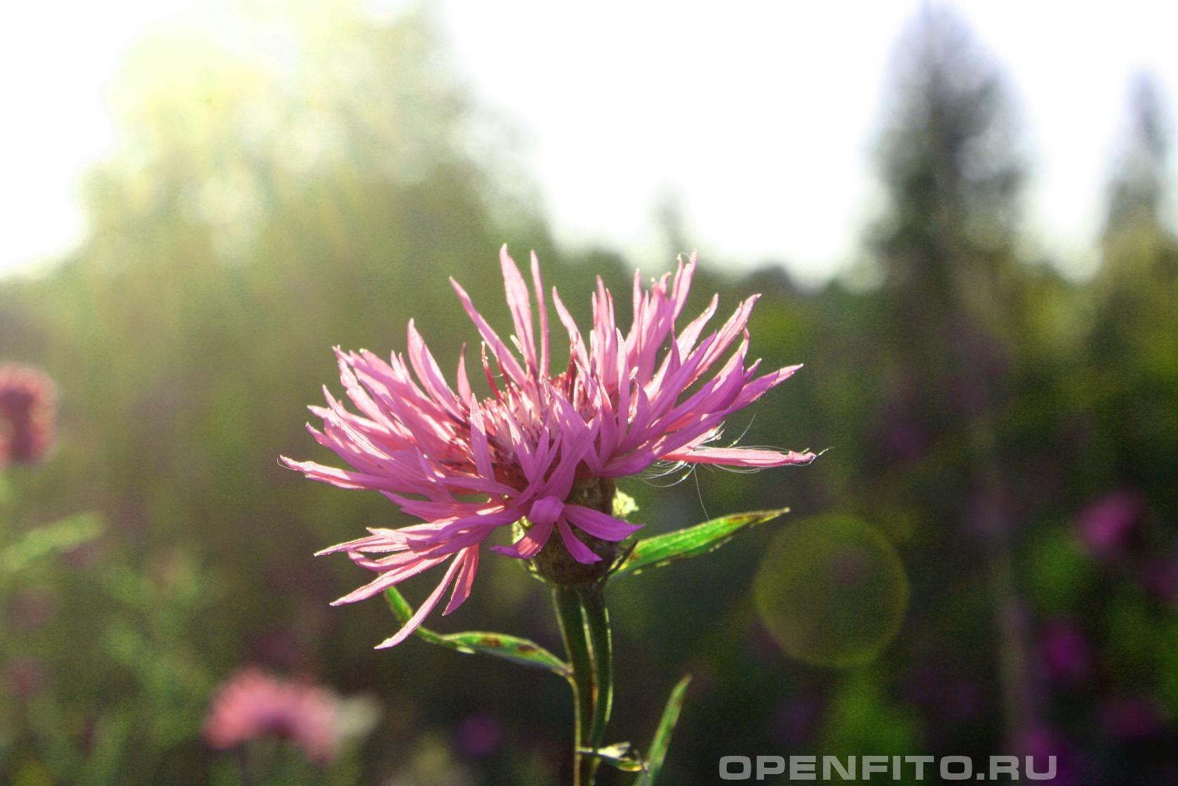 Василек луговой Лекарственное растение которое растет везде