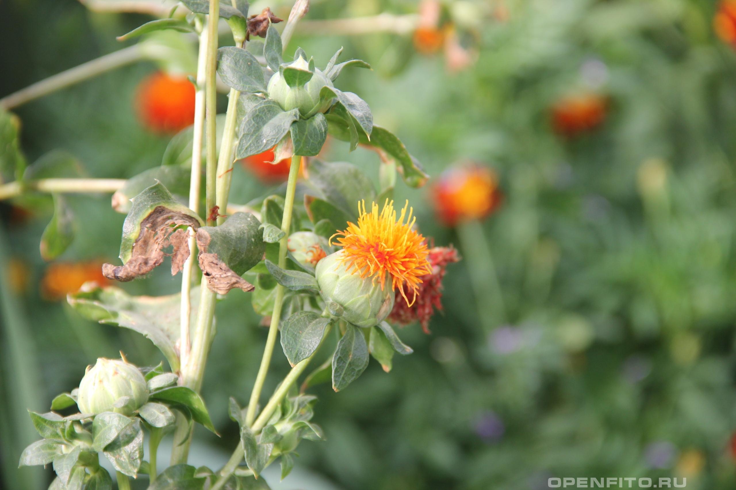 Сафлор красильный цветущее растение