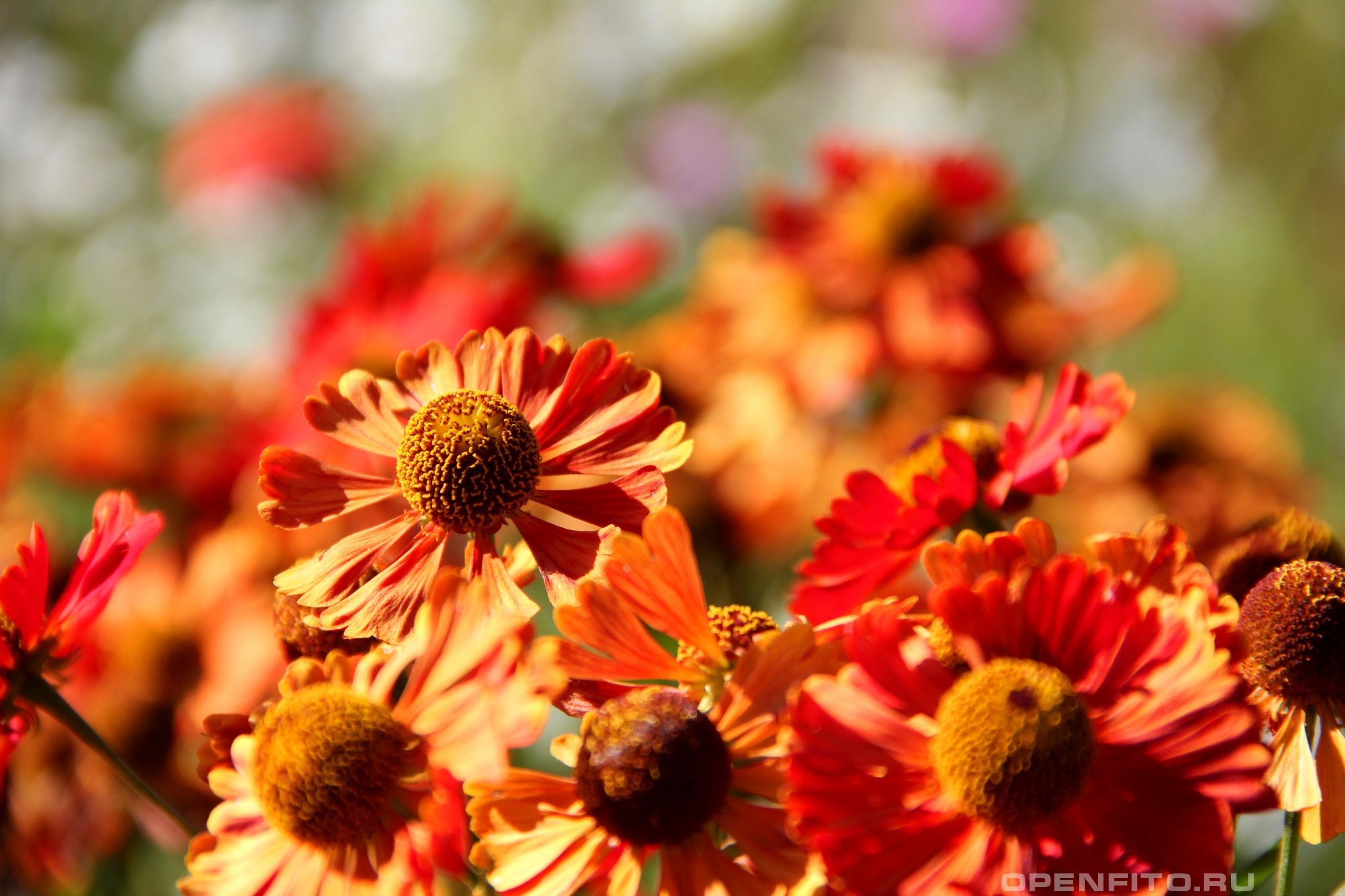 Гайлардия обыкновенная очень красивое садовое растение, цветет осенью