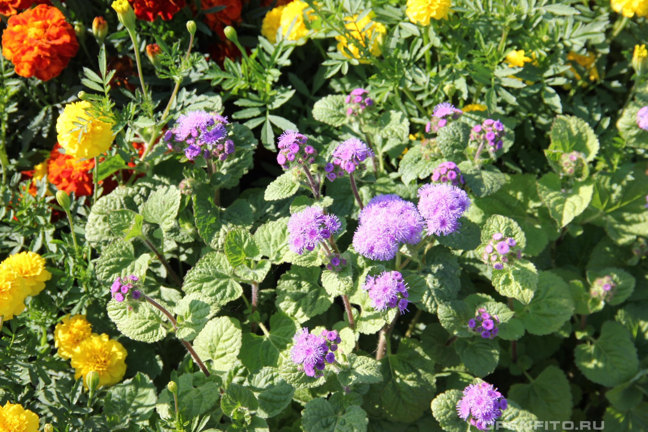 Агератум Хьюстона садовый цветок