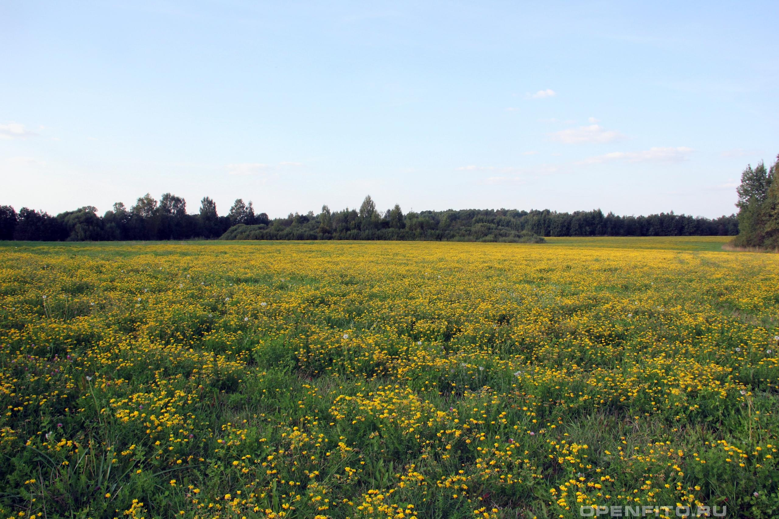 Лядвенец рогатый поле
