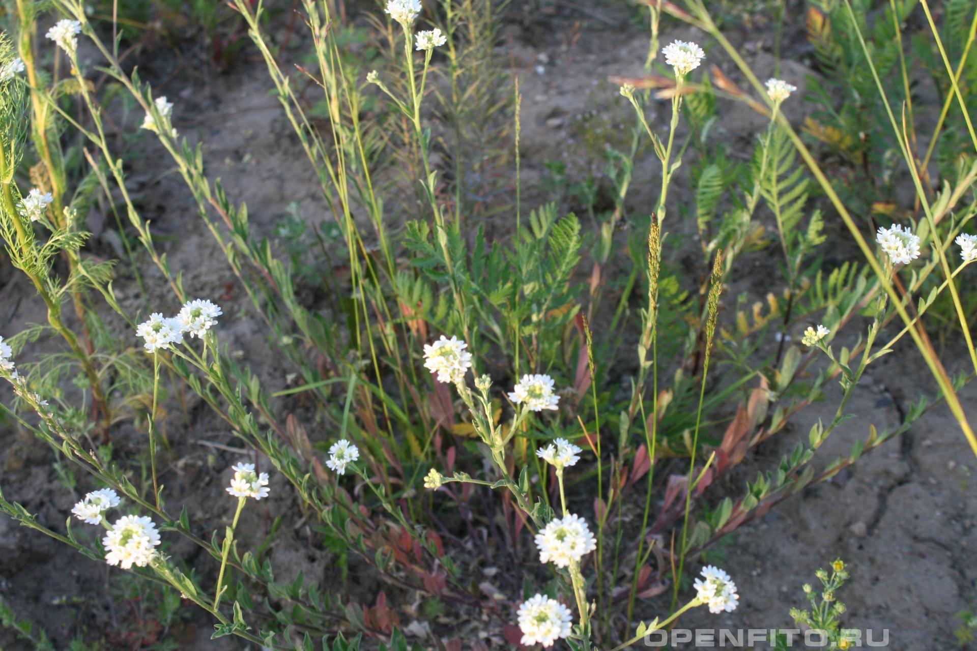 Икотник Фотография растения