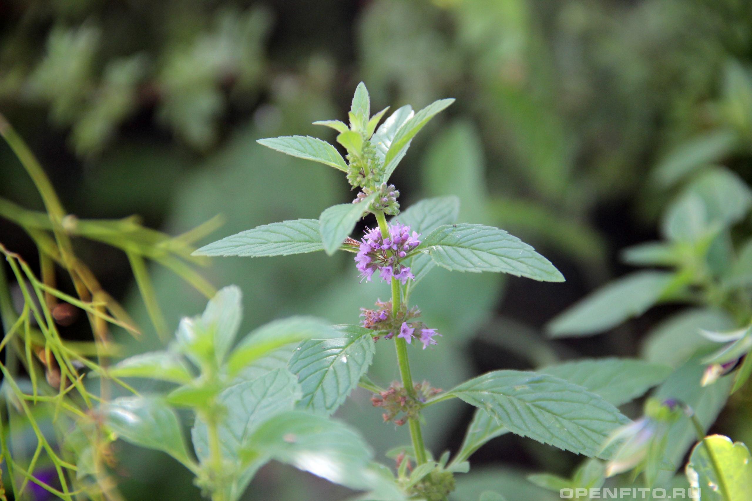 Мята полевая фото во время цветения