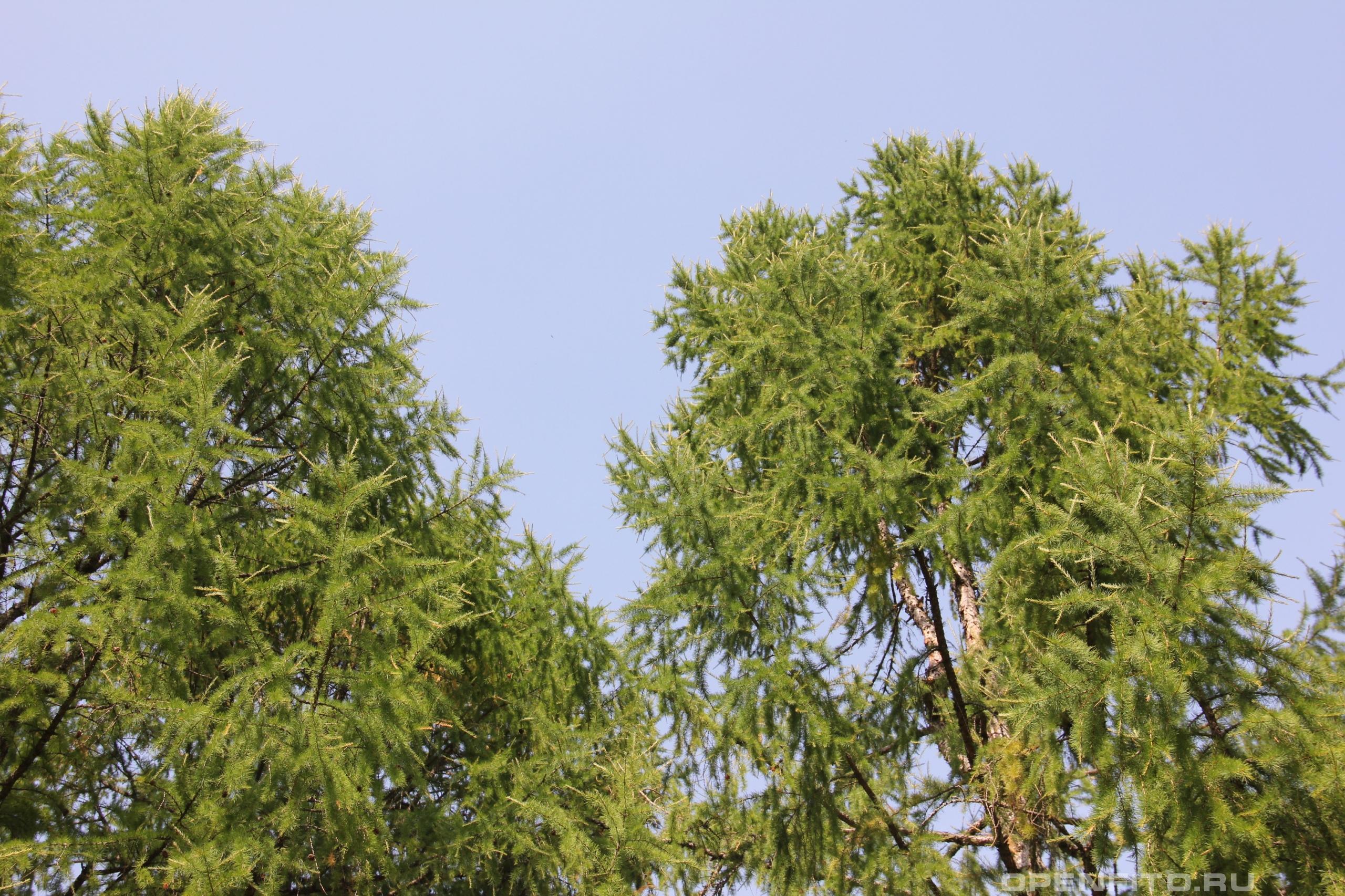 Лиственница архангельская верхушки деревьев