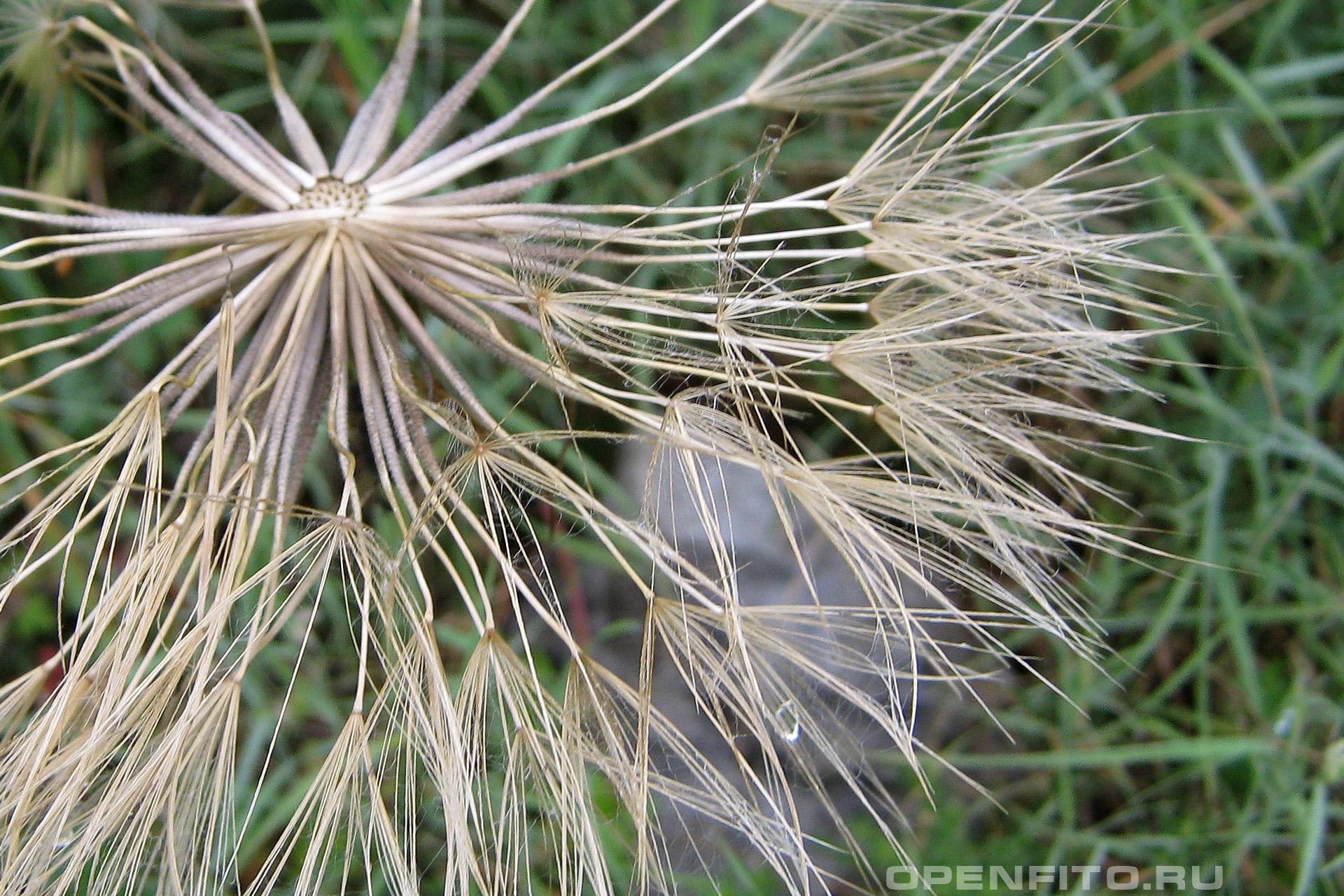 Козлобородник пореелистный семена крупным планом