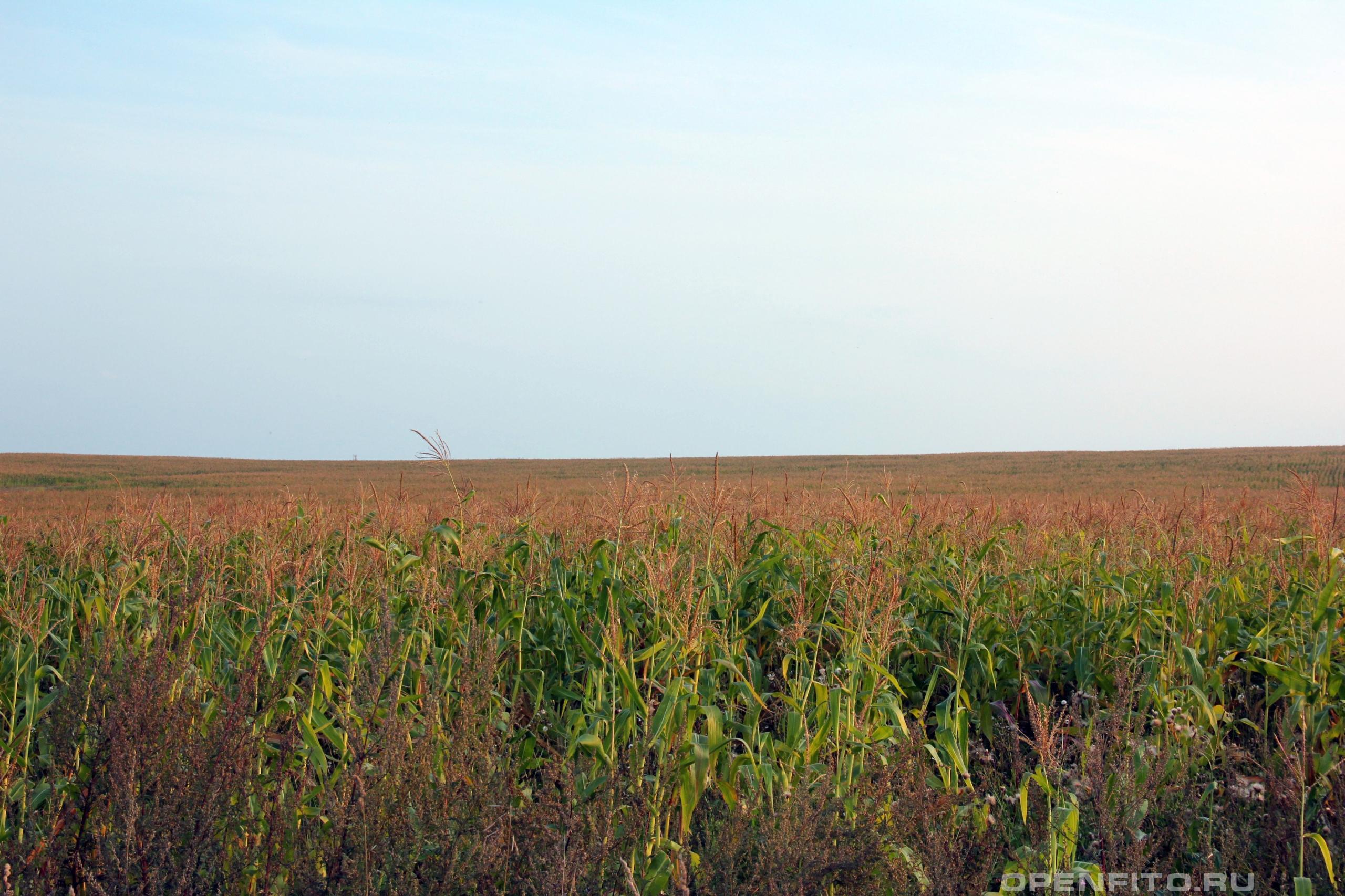 Кукуруза обыкновенная поле засеянное кукурузой