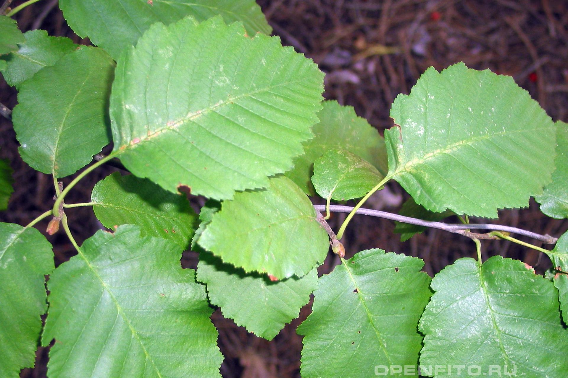 Ольха серая листья