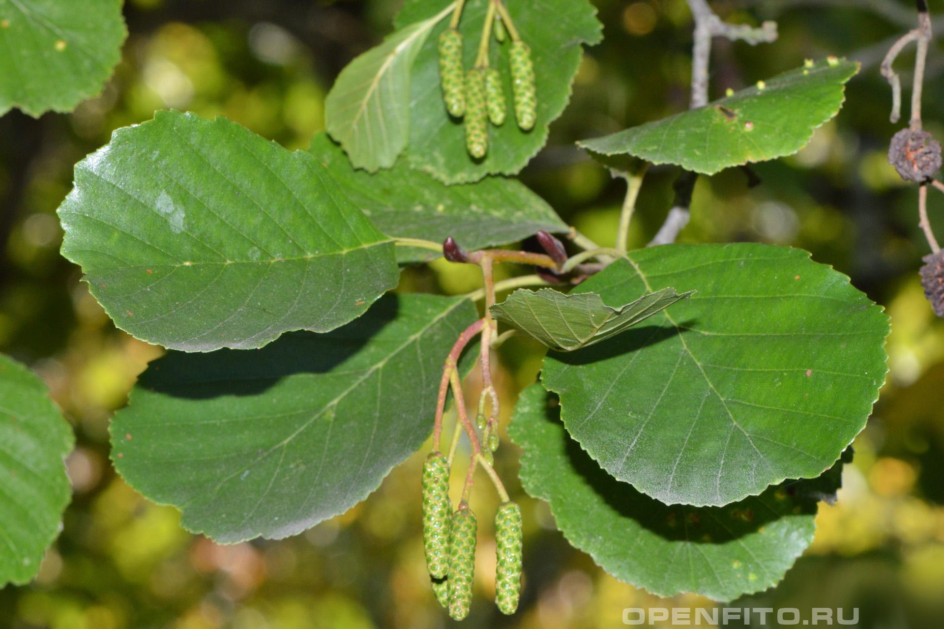 Ольха черная листья и соцветия
