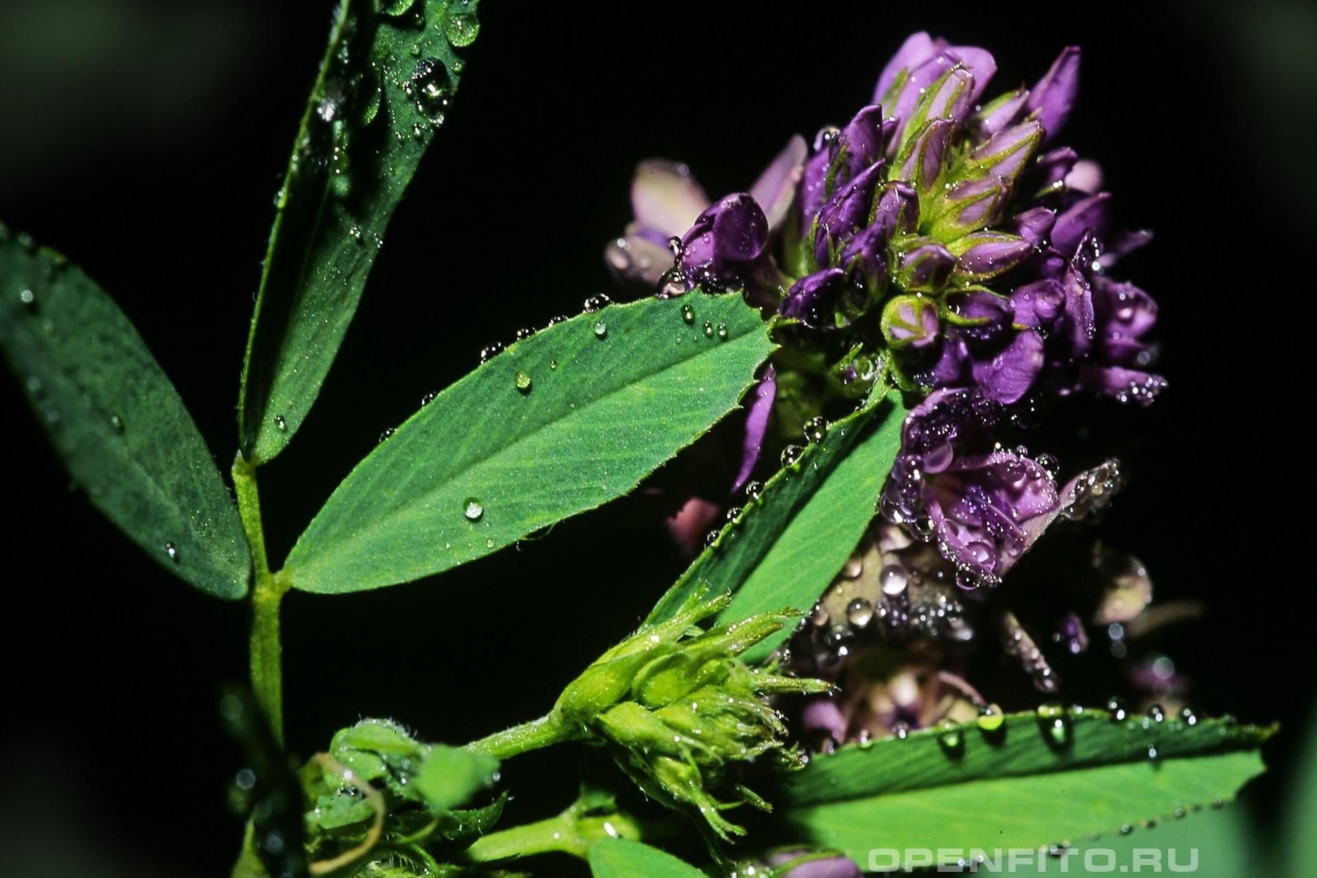 Люцерна посевная цветок