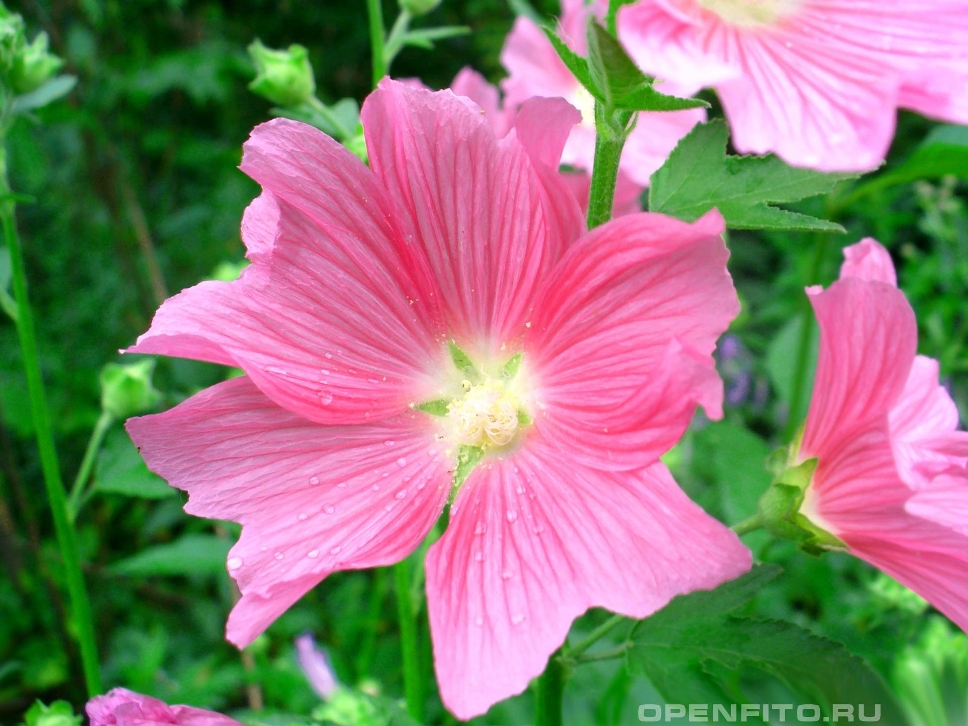 Шток-роза розовая <p>Садовое растение</p>