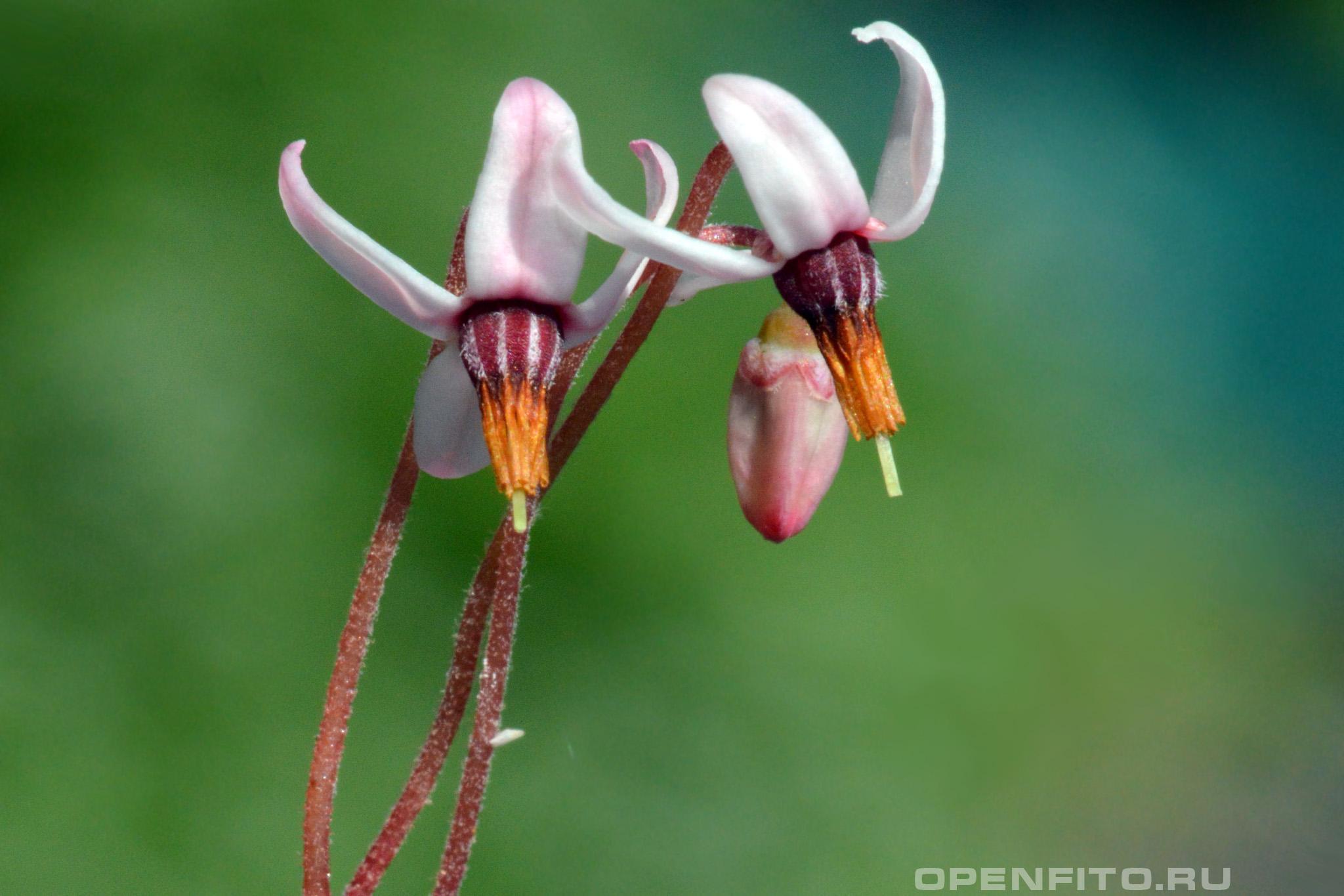 Клюква болотная макросъемка цветков