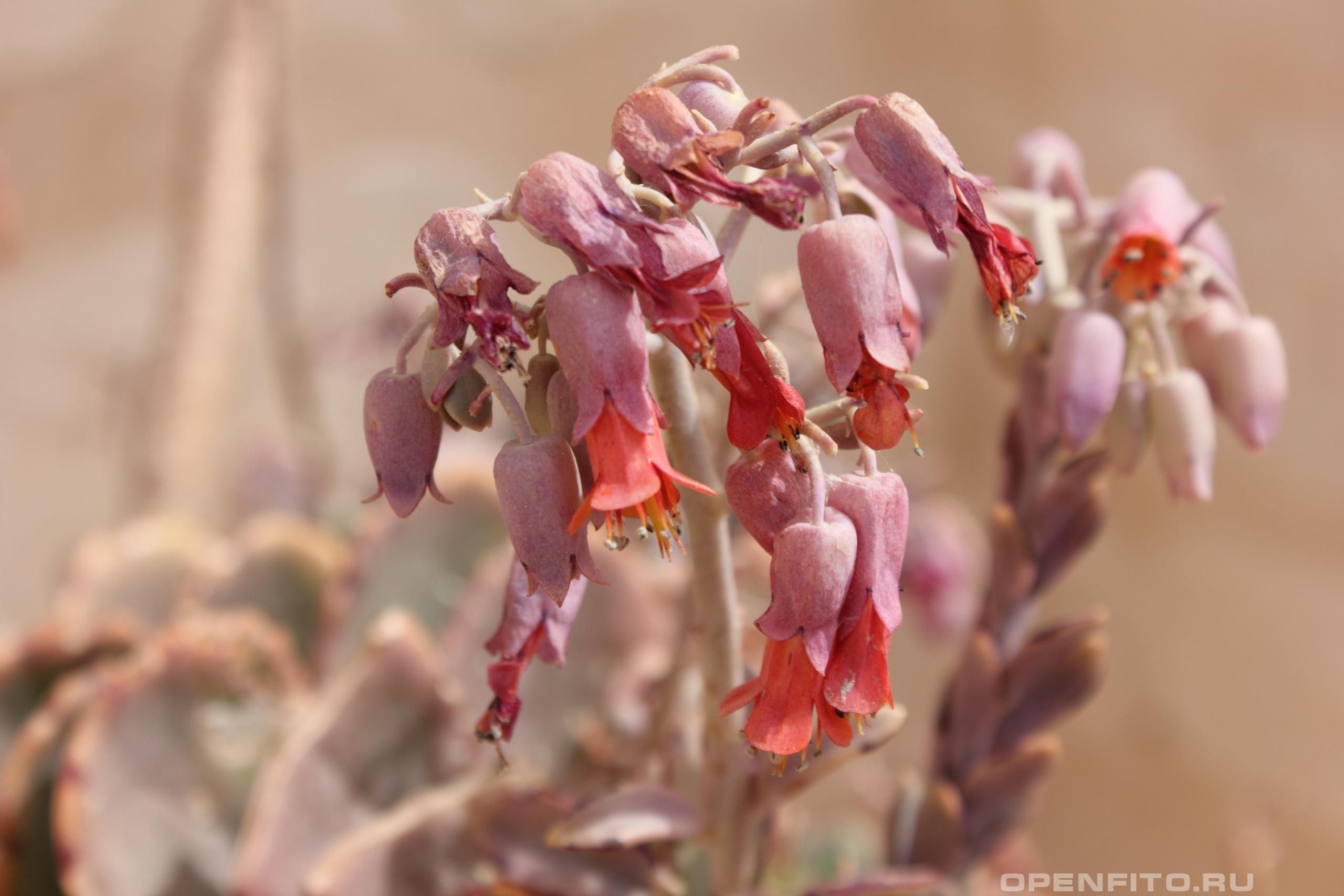 Каланхоэ перистое цветение