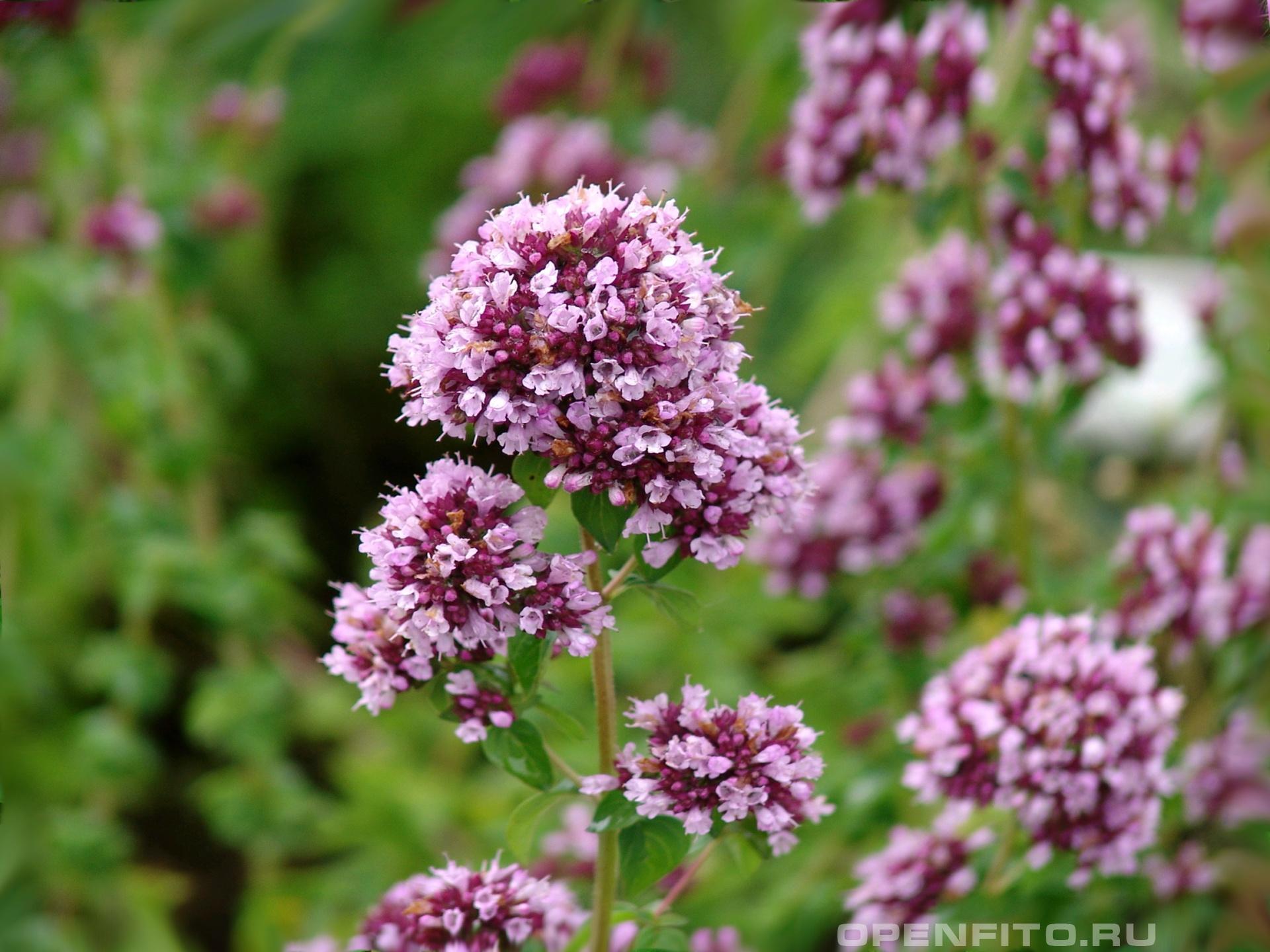 Душица Фото цветков Душицы