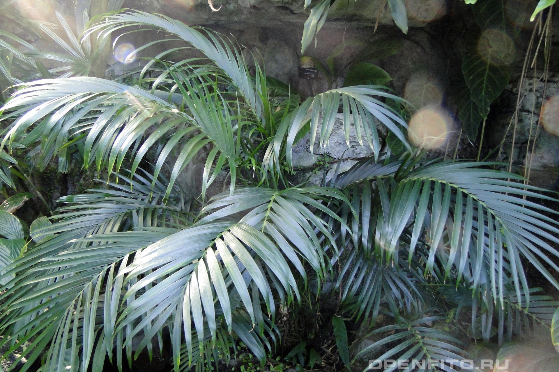 Хамедорея Зейфрица растение родом из Австралии