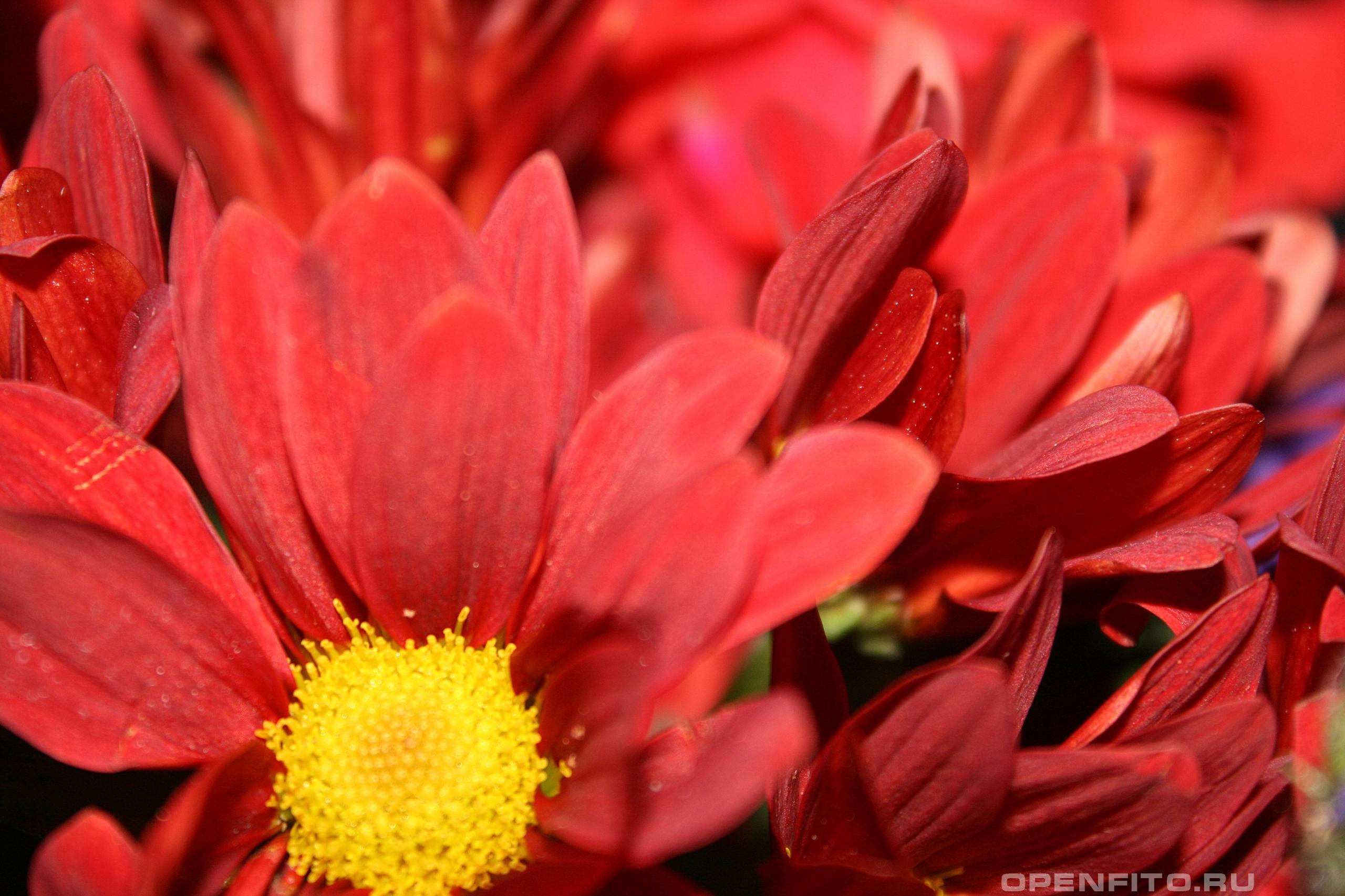 Хризантема индийская фото цветка крупным планом