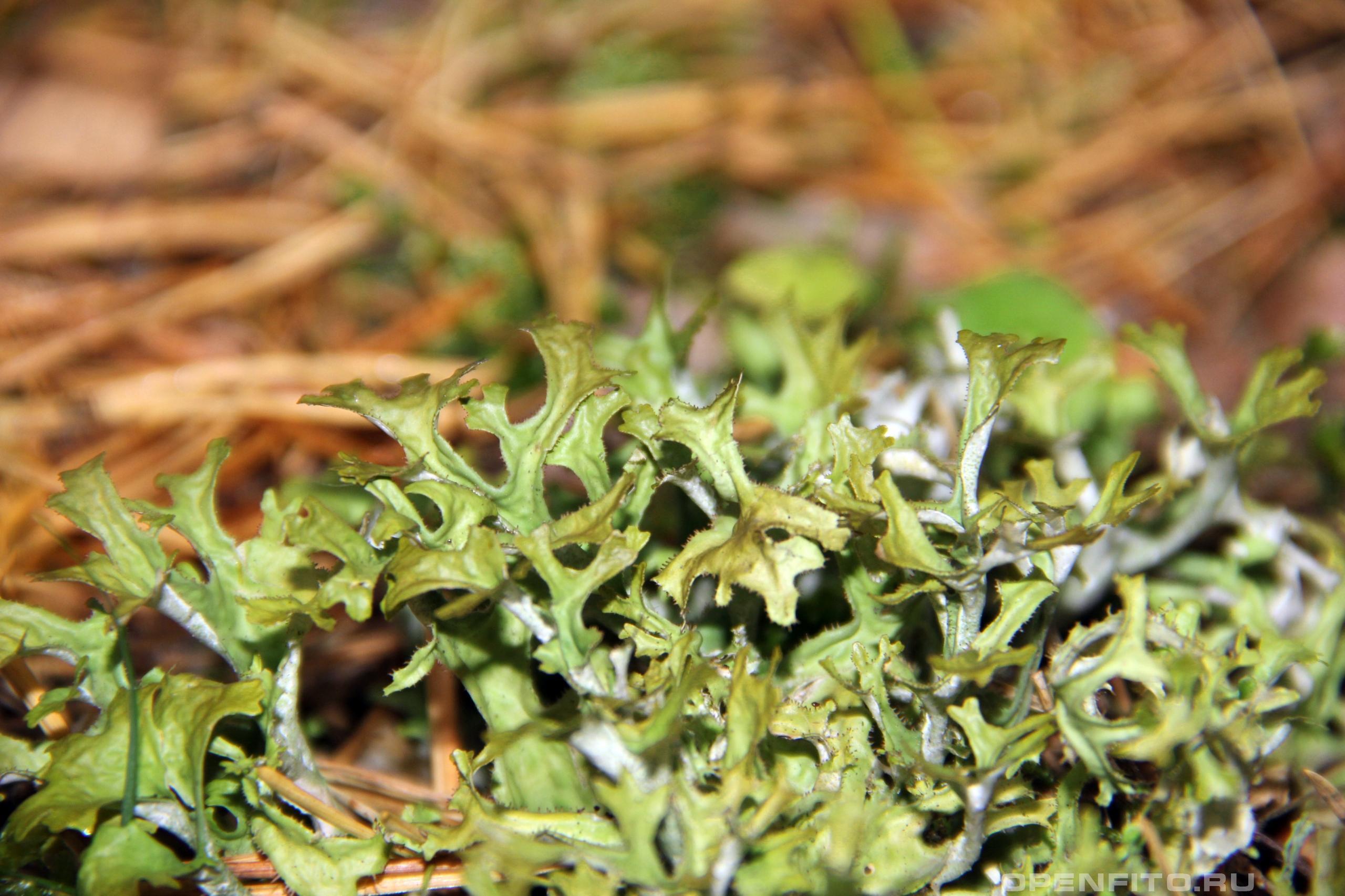 Цетрария исландская или исландский мох