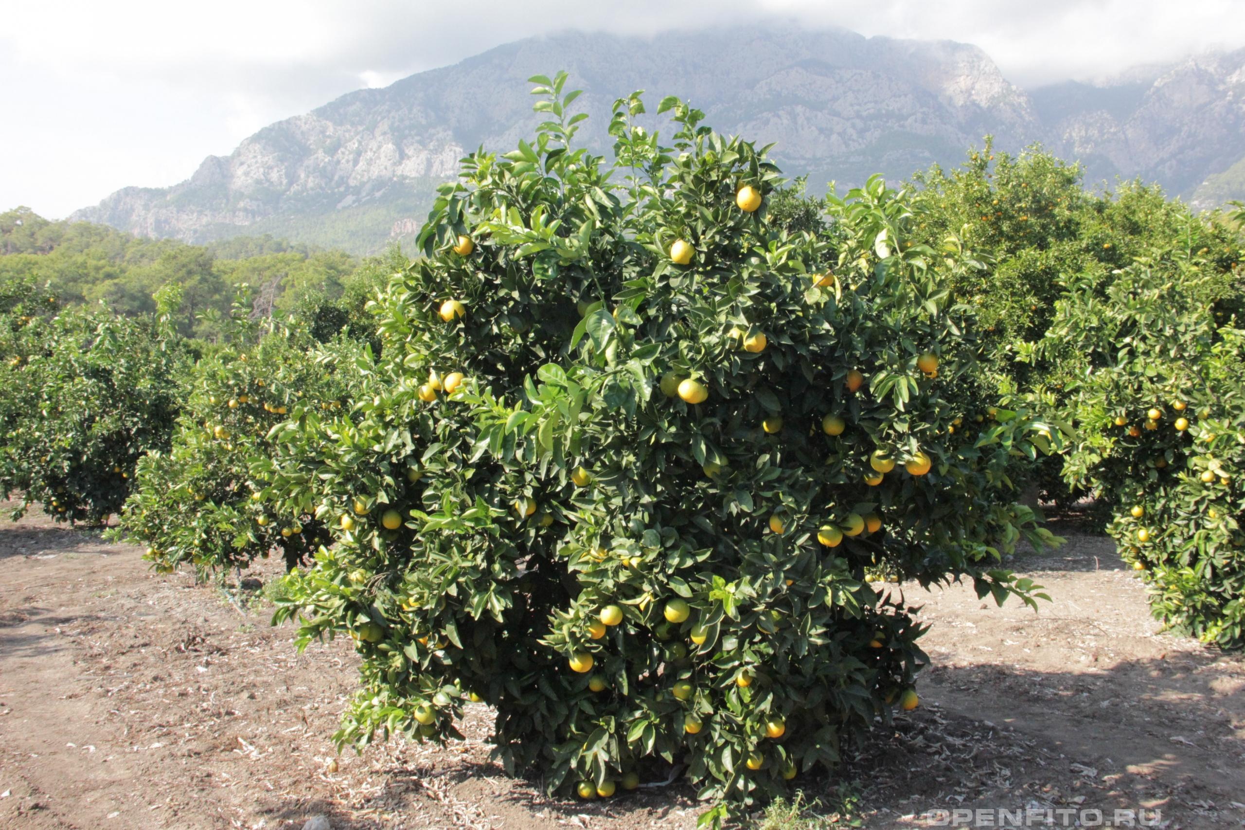 Апельсин сладкий или цитрус китайский