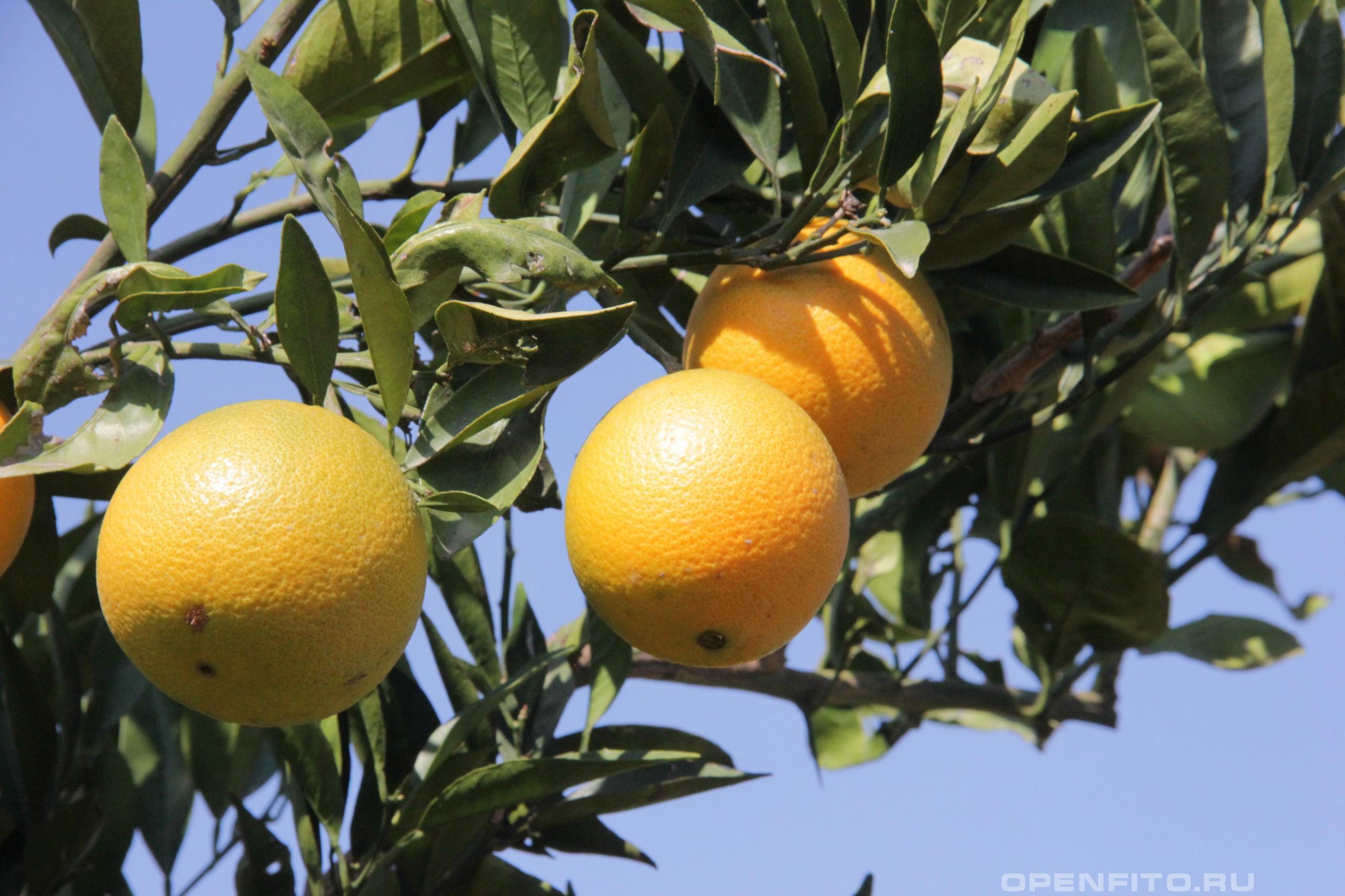 Апельсин сладкий или цитрус сладкий