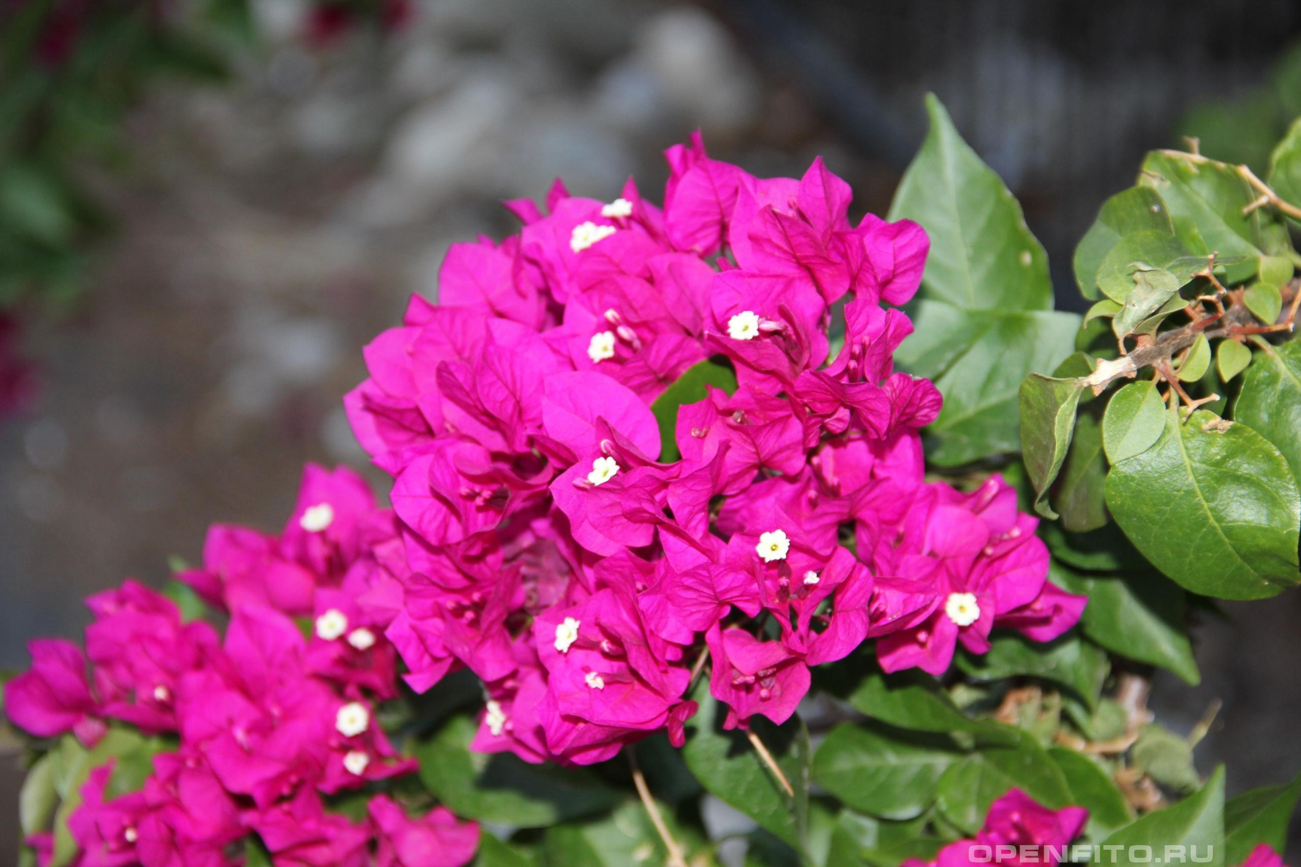 Бугаинвиллея прекрасная листья и цветы, садовое растений