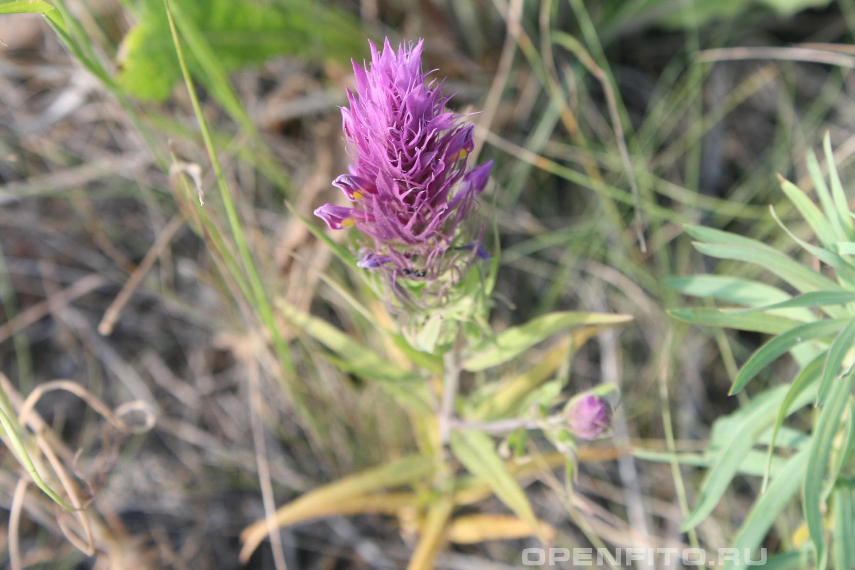 Марьянник полевой <p>соцветие, побережье Каспийского моря</p>