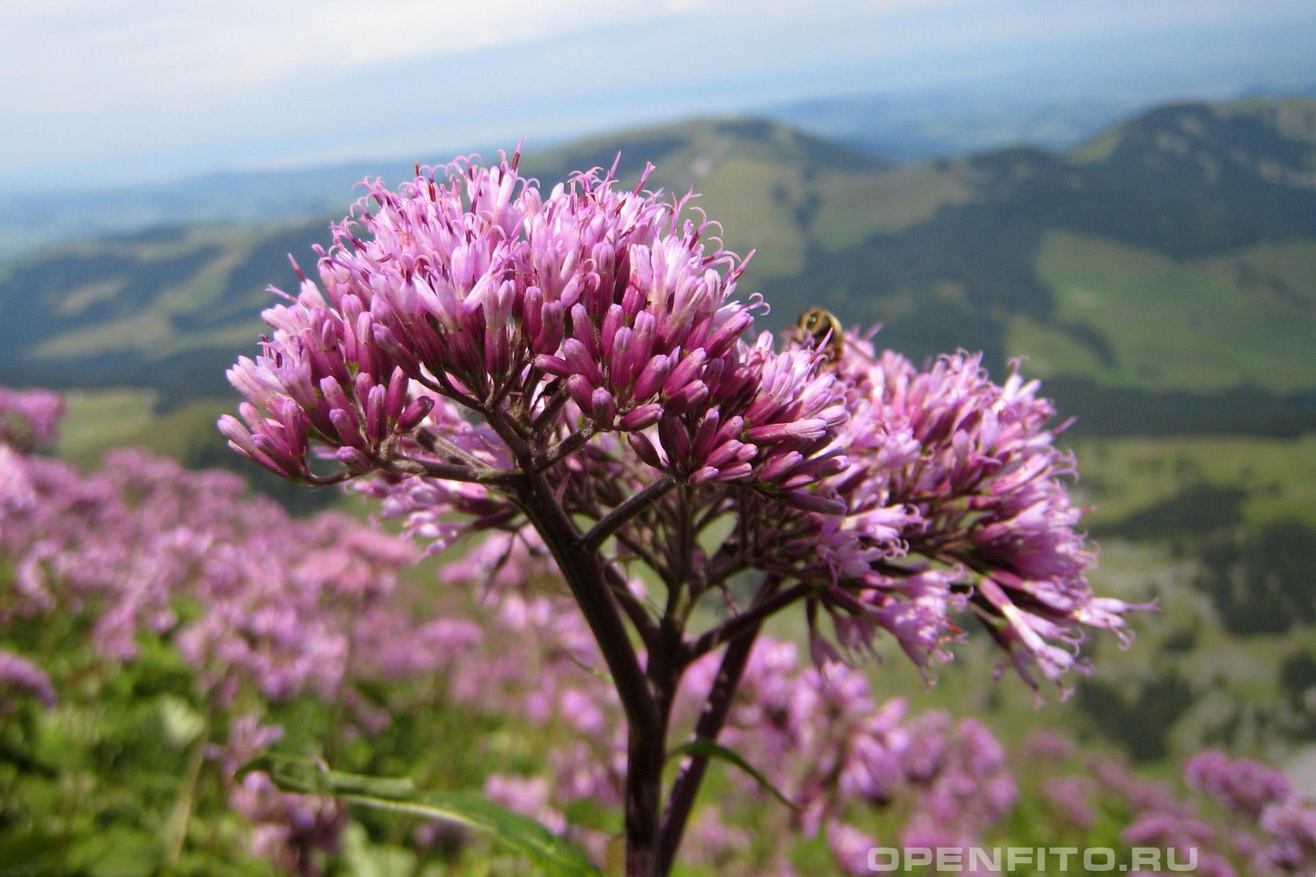 Аденостилес чесночницелистный соцветие
