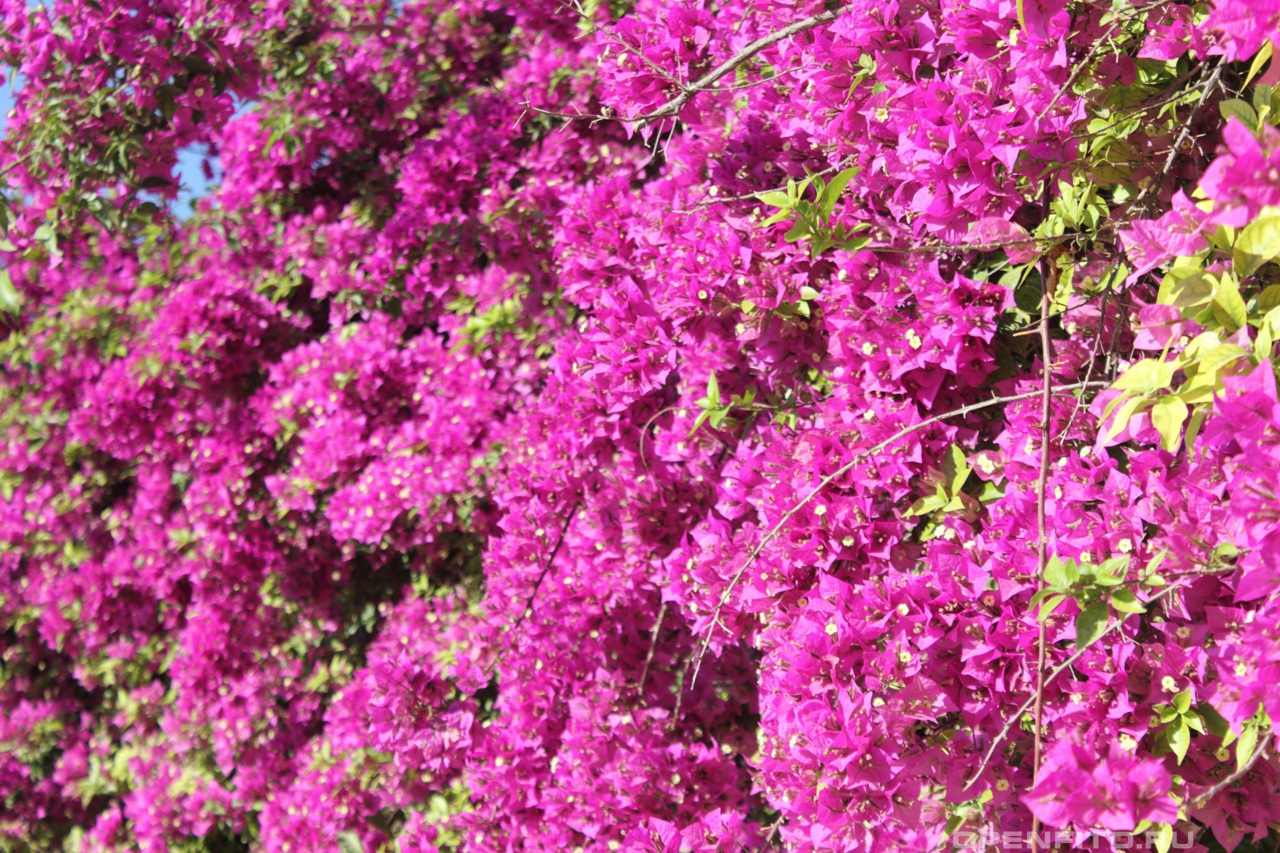 Бугаинвиллея прекрасная ковер из цветов