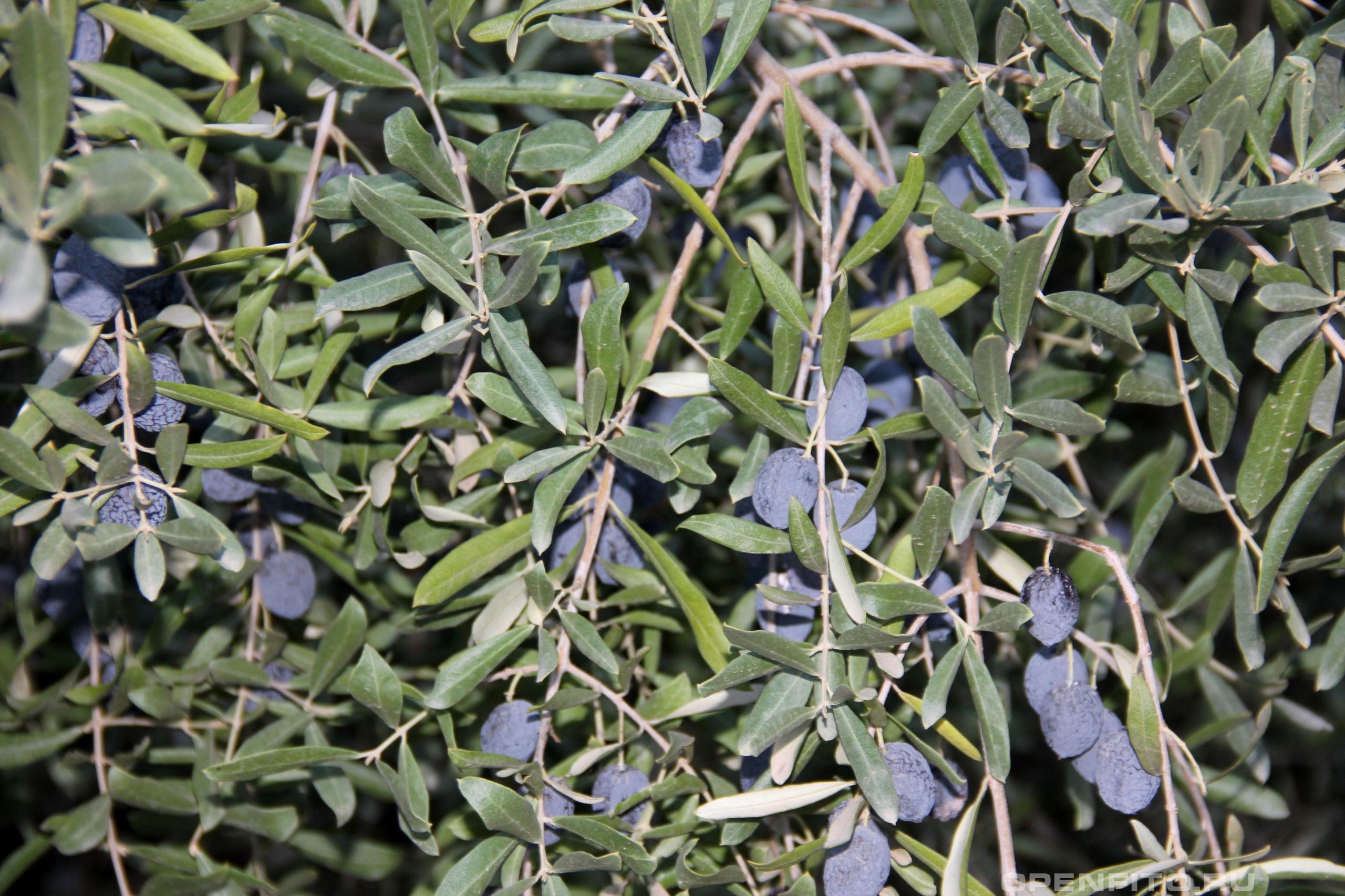Маслина европейская листья и зрелые плоды