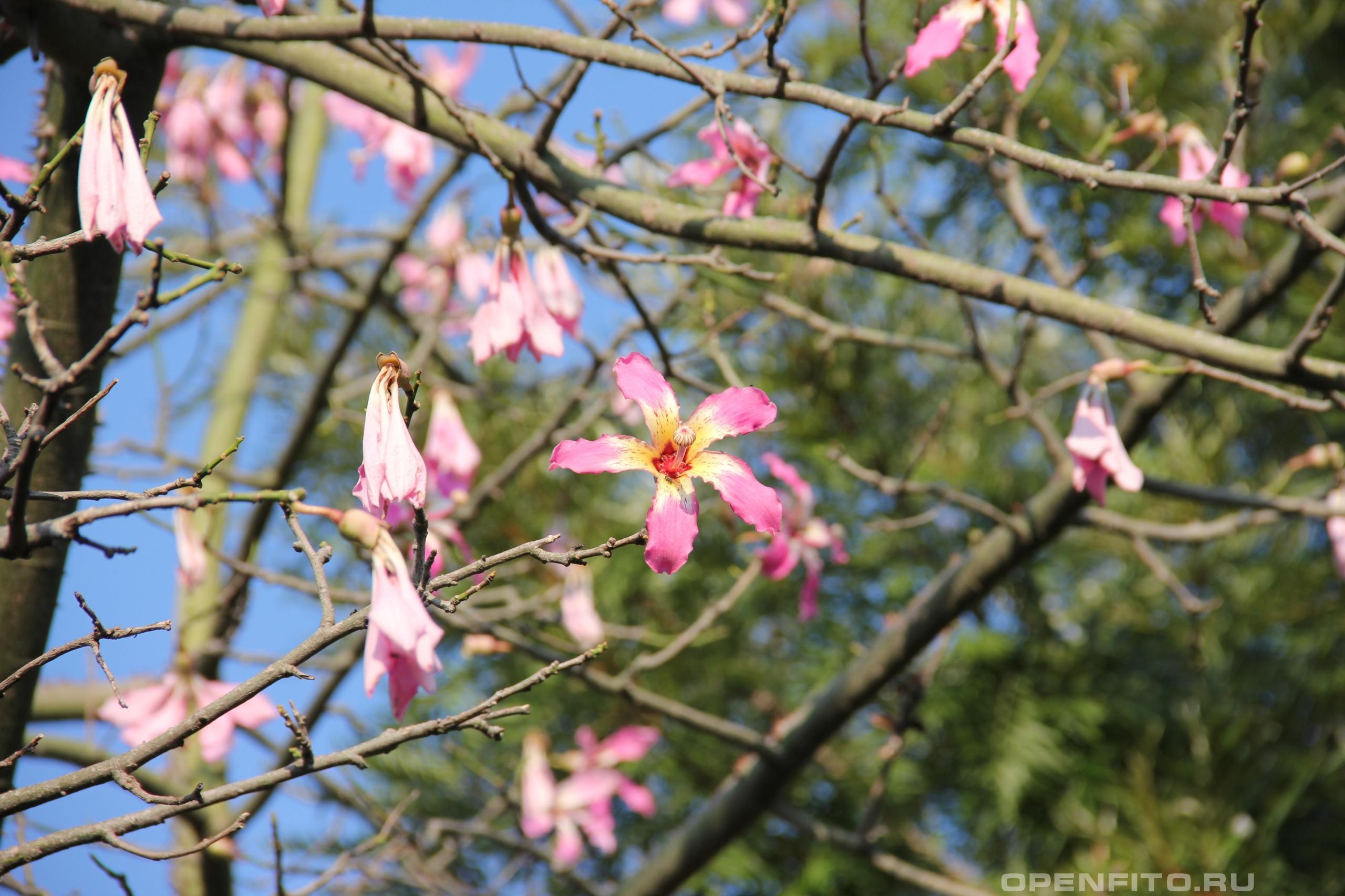 Хоризия великолепная цветущее дерево