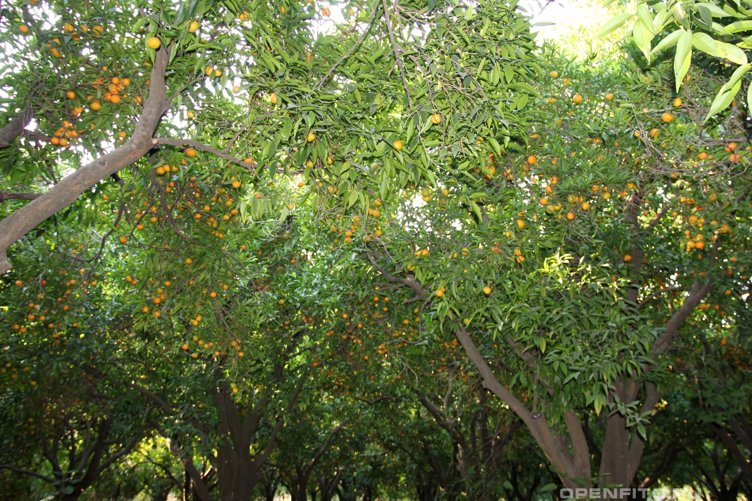 Цитрус сетчатый мандариновый сад