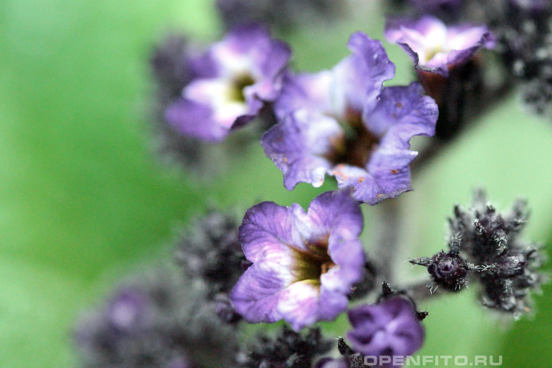 Гелиотроп эллиптический сортовой цветок, обычно растение цветет белым