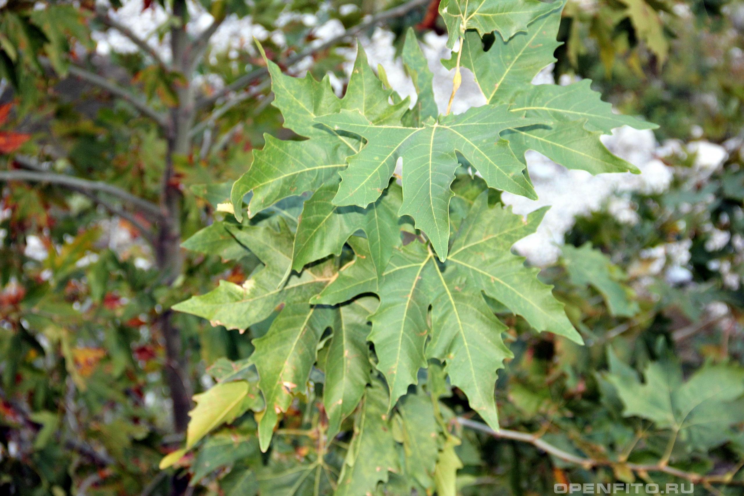Платан кленолистный листья