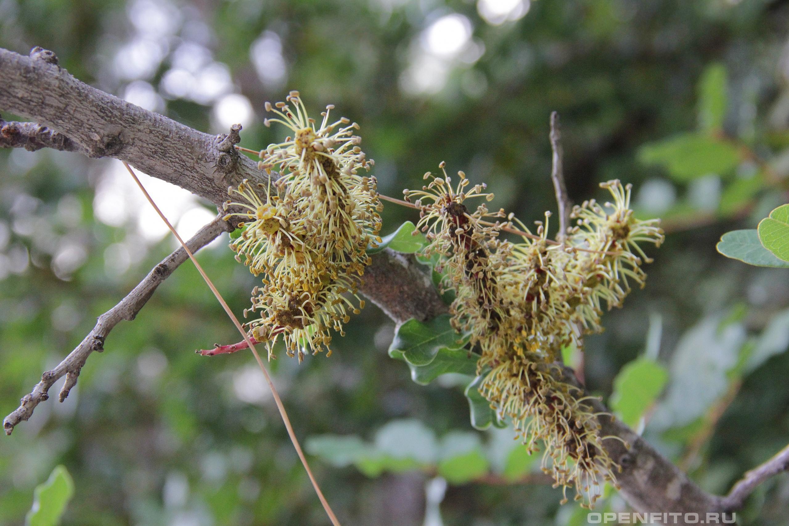 Цератония стручковая цветки создают очень плохой аромат