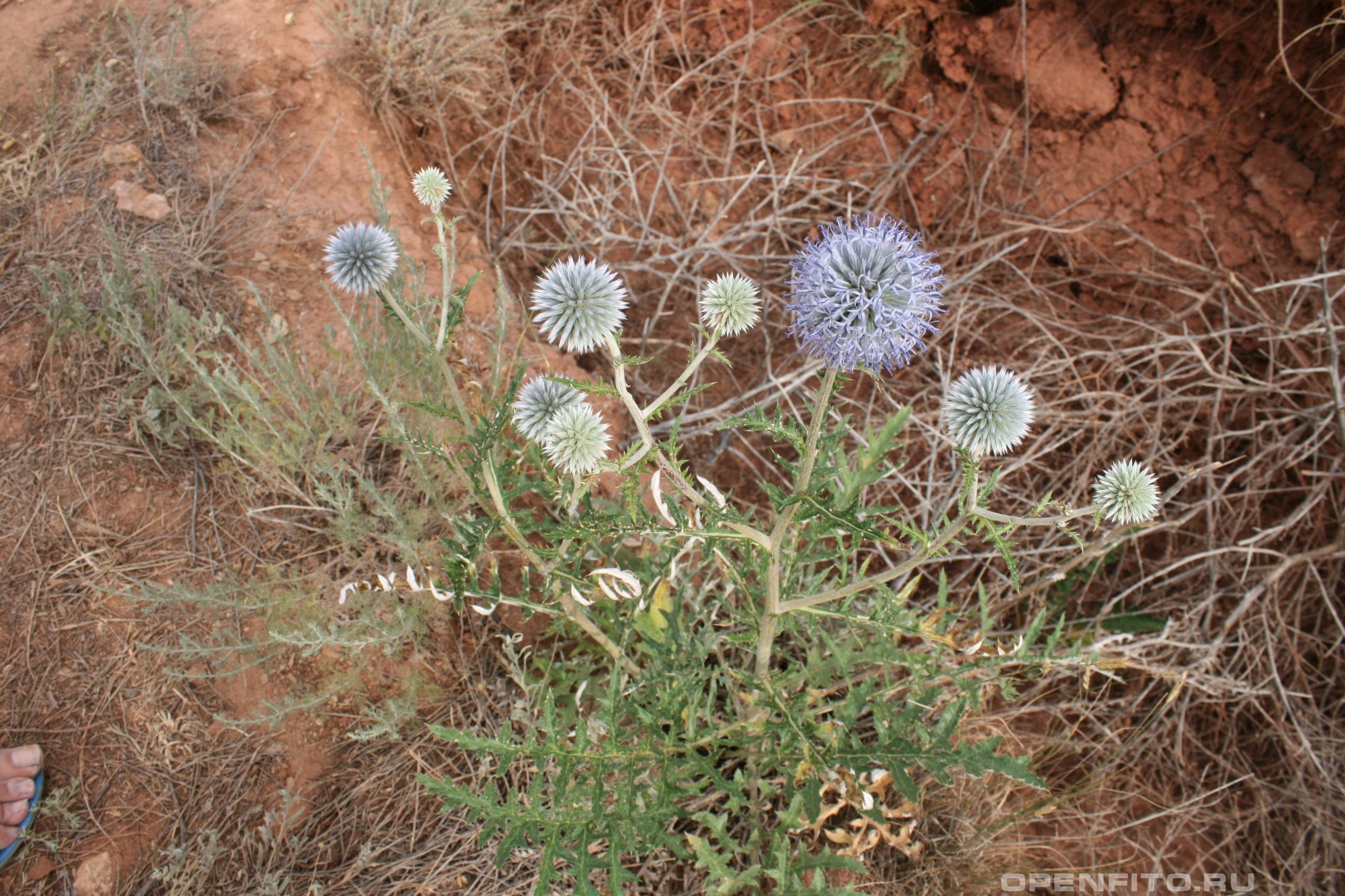 Мордовник шароголовый цветущее растение
