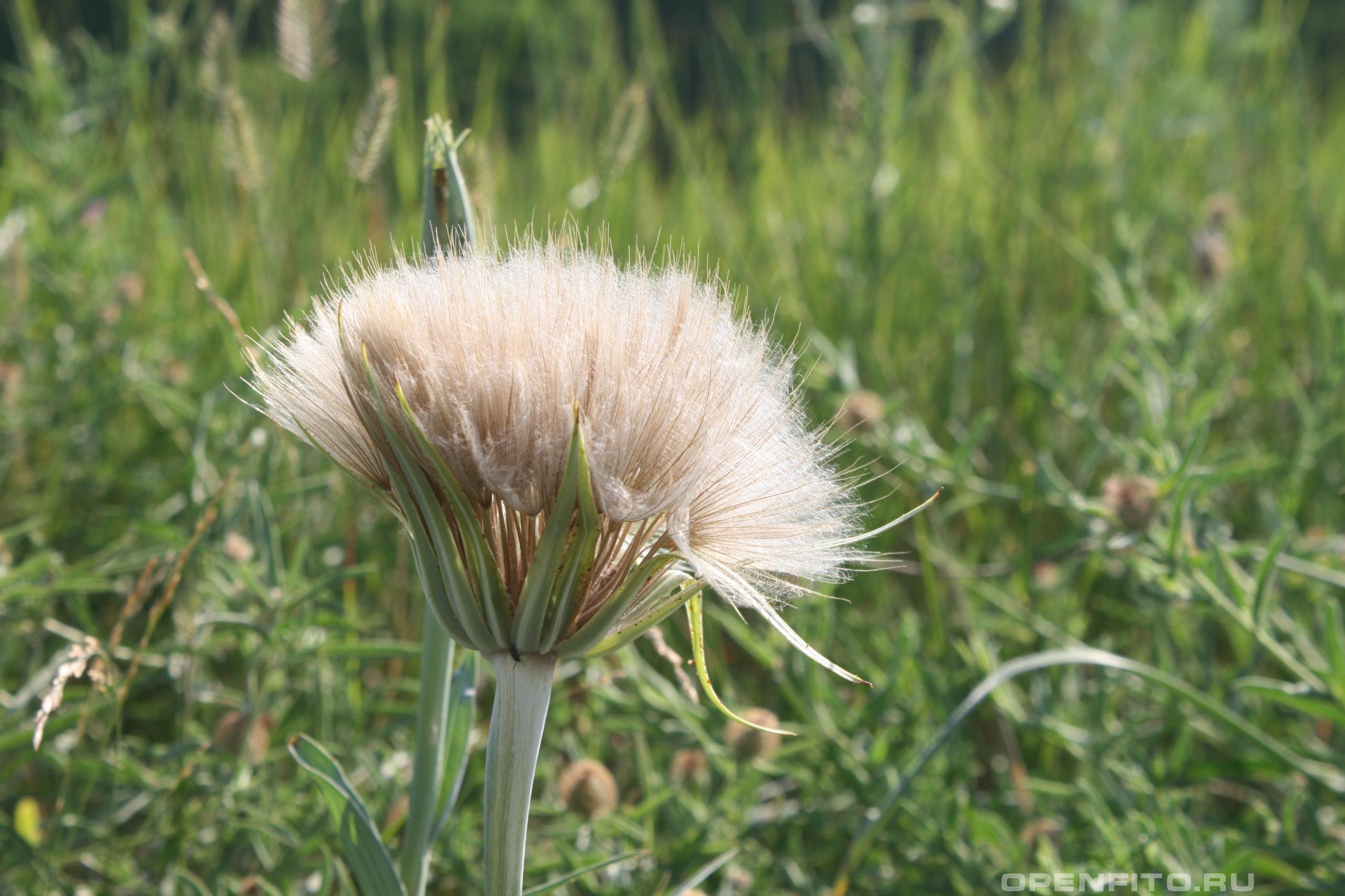 Козлобородник большой соцветие