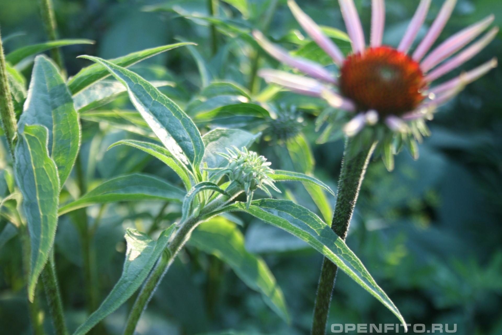 Эхинацея Целебное садовое растение