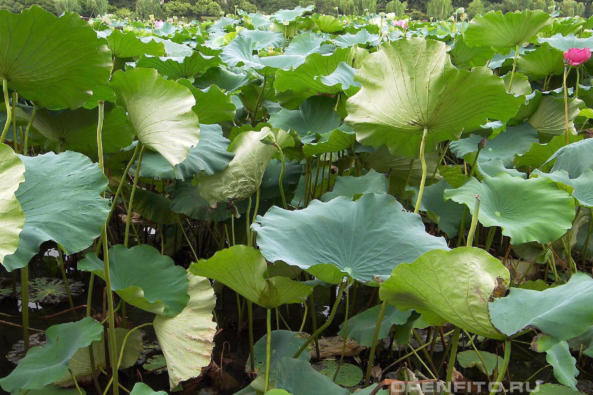Лотос каспийский так выглядит растение к концу цветения